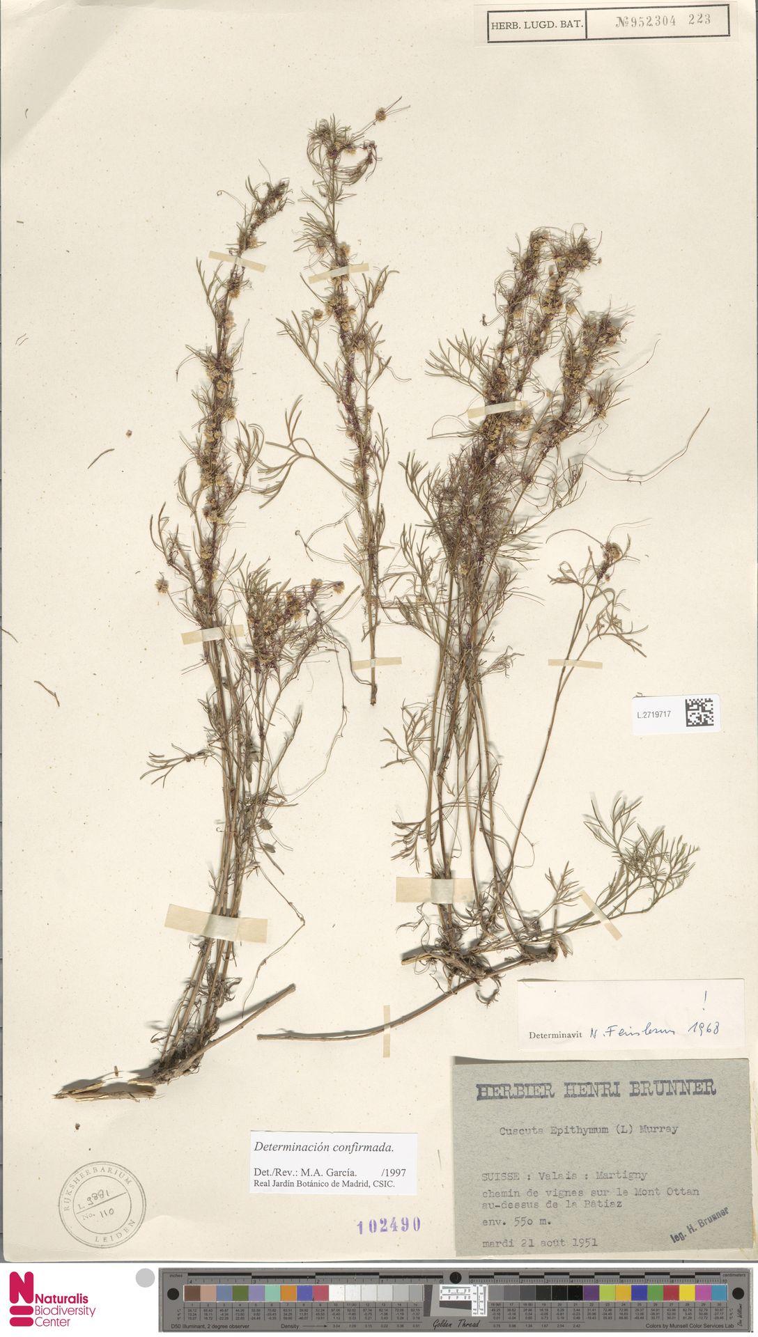 L.2719717   Cuscuta epithymum (L.) L.