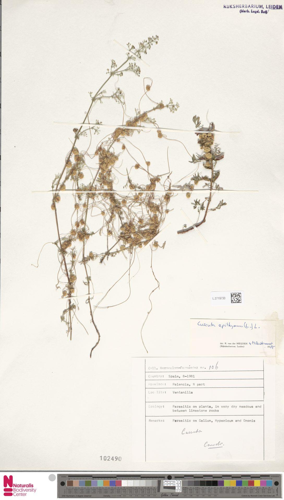 L.2719730 | Cuscuta epithymum (L.) L.