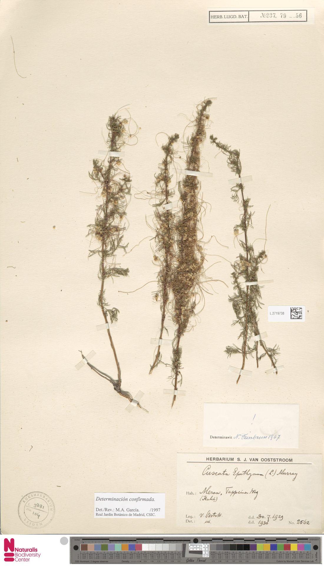 L.2719738 | Cuscuta epithymum (L.) L.