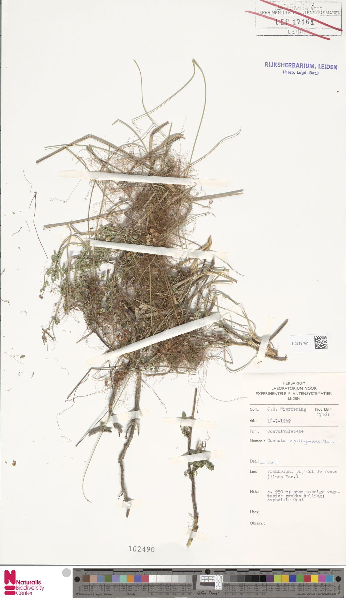 L.2719762 | Cuscuta epithymum (L.) L.