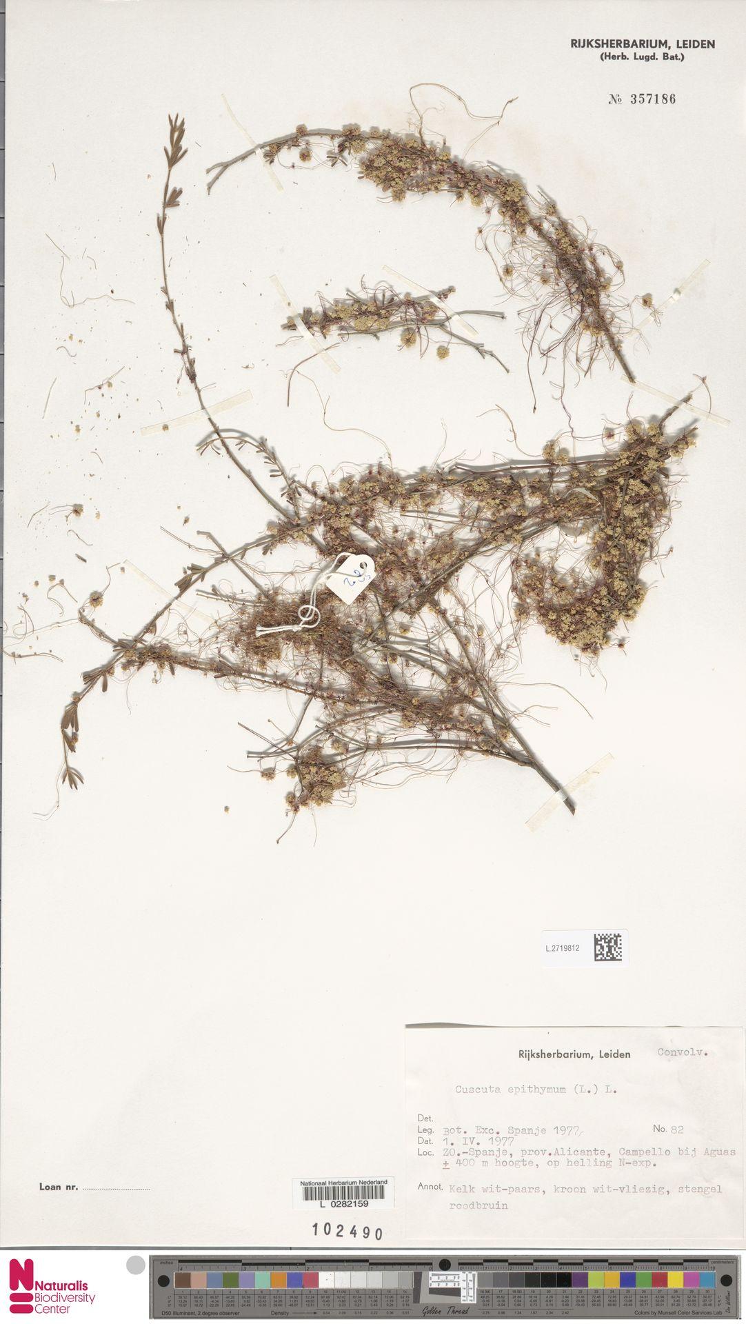 L.2719812   Cuscuta epithymum (L.) L.