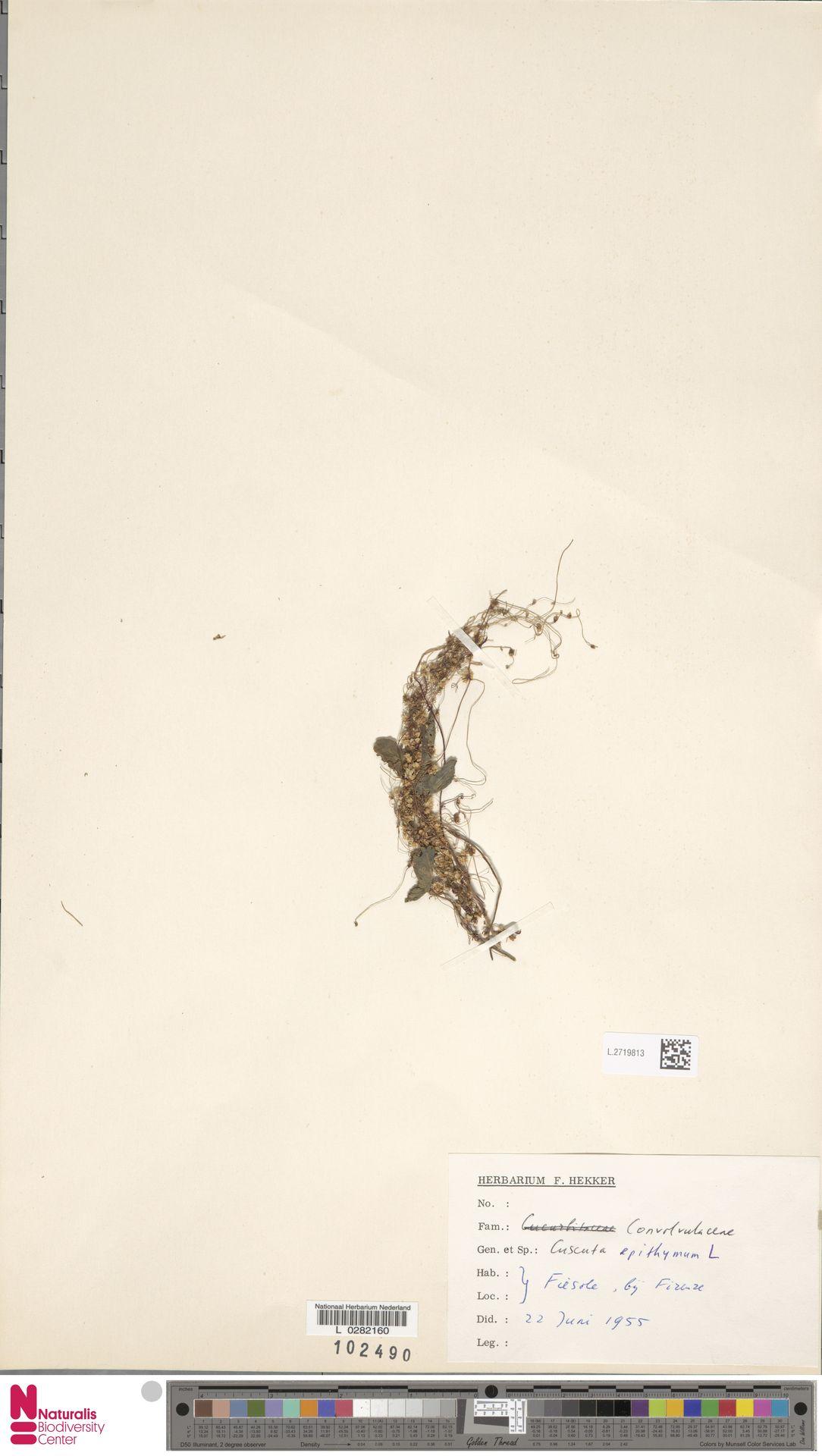 L.2719813 | Cuscuta epithymum (L.) L.