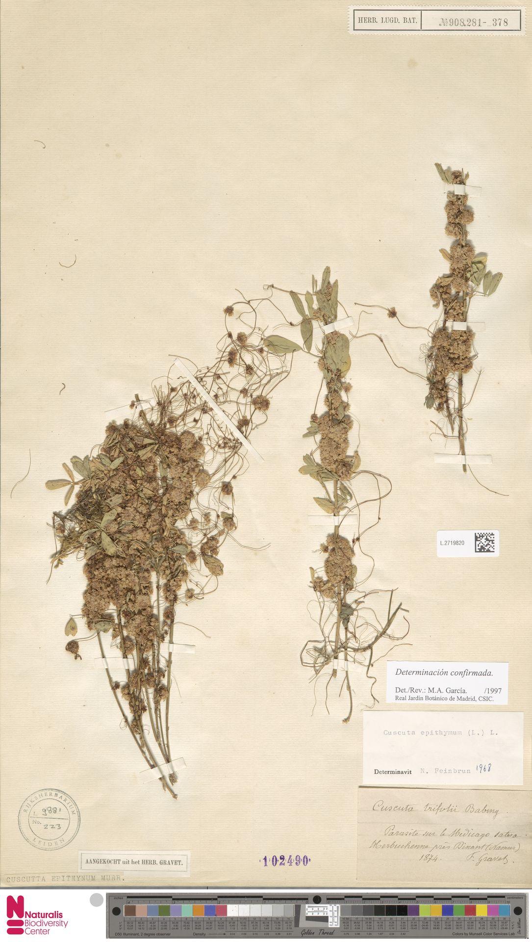 L.2719820 | Cuscuta epithymum (L.) L.