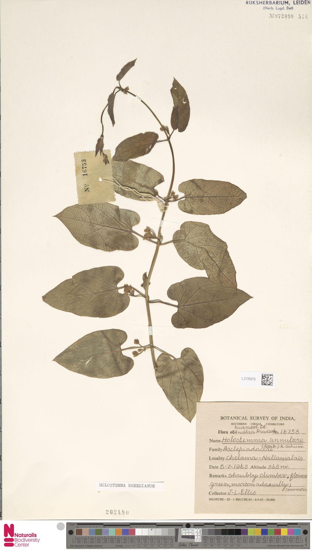 L.2720375 | Holostemma rheedianum Spreng.