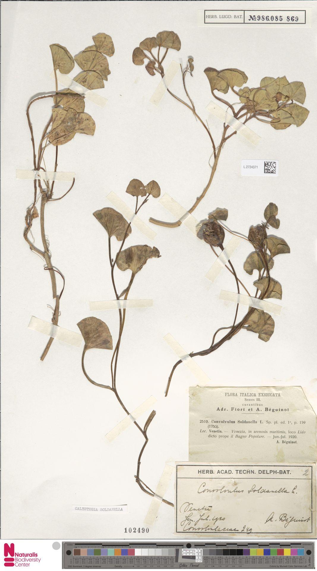 L.2724371 | Calystegia soldanella (L.) R.Br.