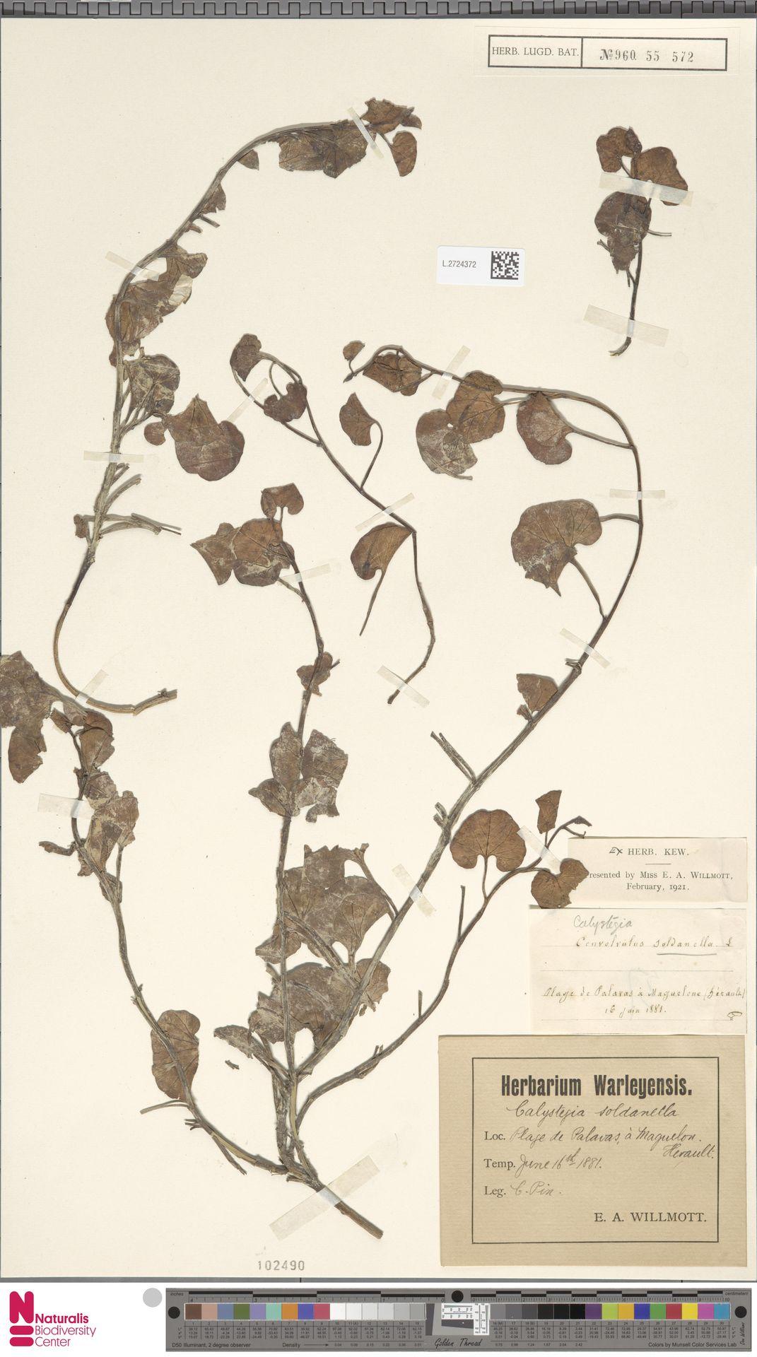 L.2724372 | Calystegia soldanella (L.) R.Br.