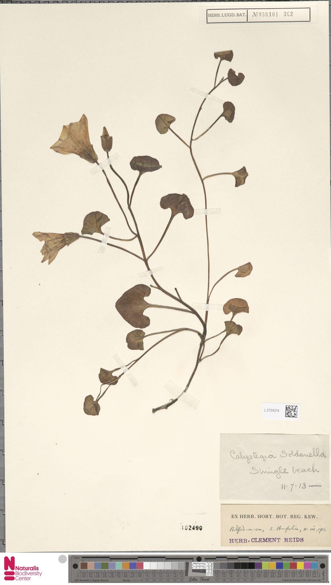L.2724374 | Calystegia soldanella (L.) R.Br.