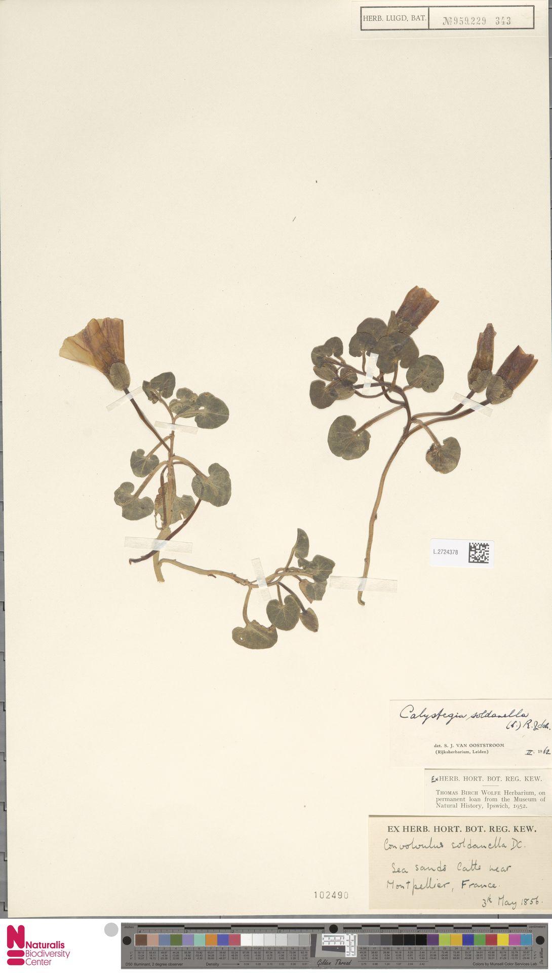 L.2724378 | Calystegia soldanella (L.) R.Br.