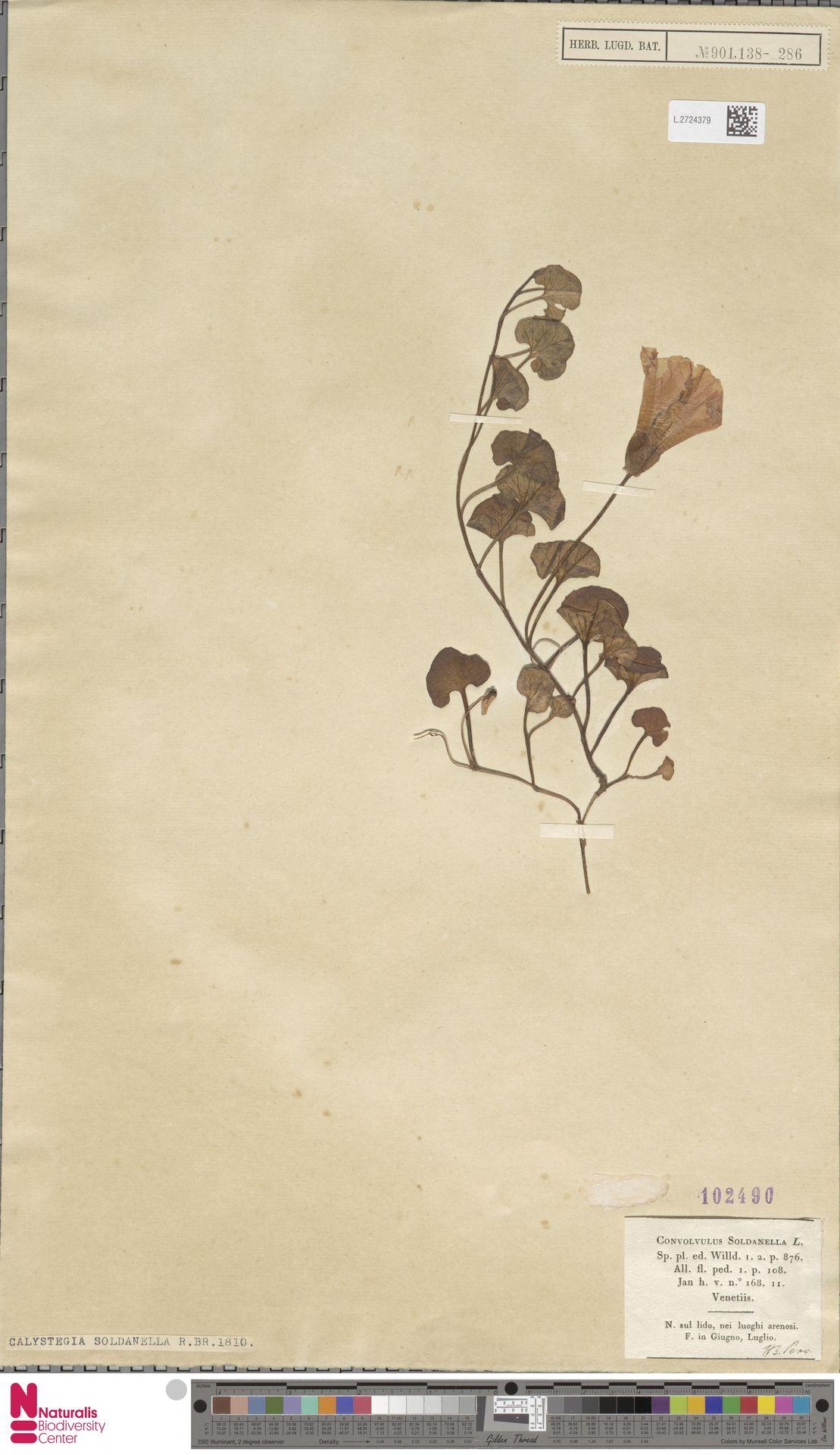 L.2724379   Calystegia soldanella (L.) R.Br.