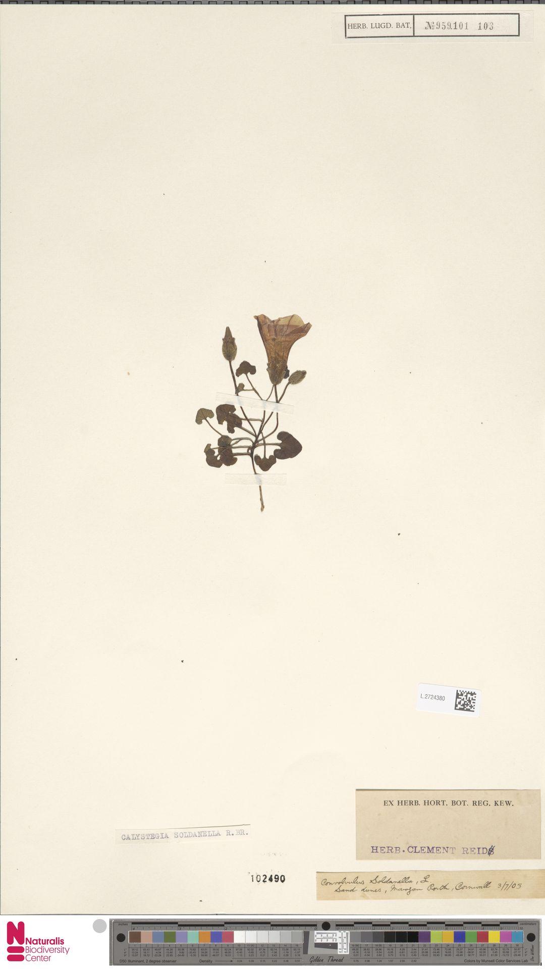 L.2724380 | Calystegia soldanella (L.) R.Br.