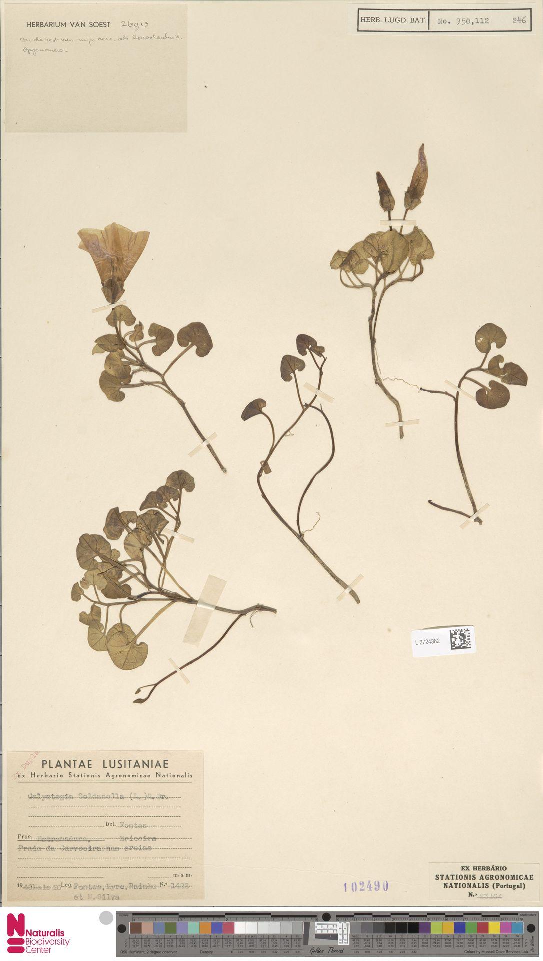 L.2724382 | Calystegia soldanella (L.) R.Br.
