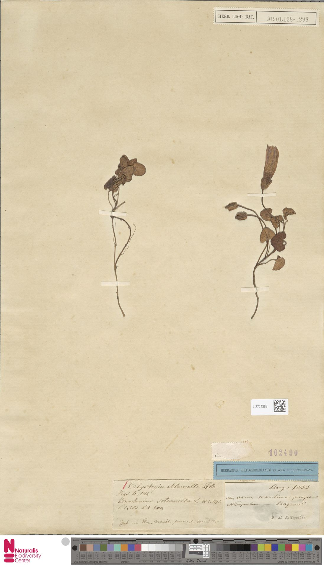L.2724383 | Calystegia soldanella (L.) R.Br.