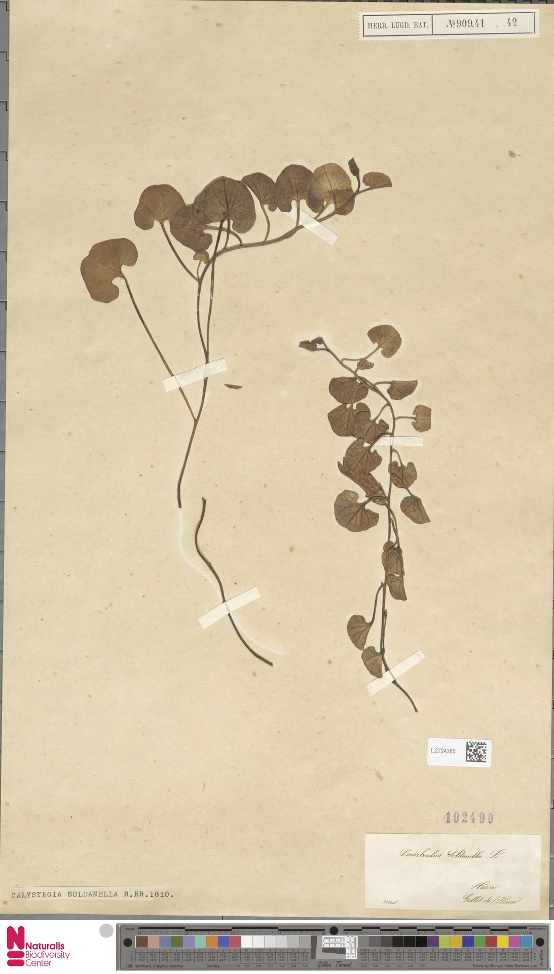 L.2724385   Calystegia soldanella (L.) R.Br.