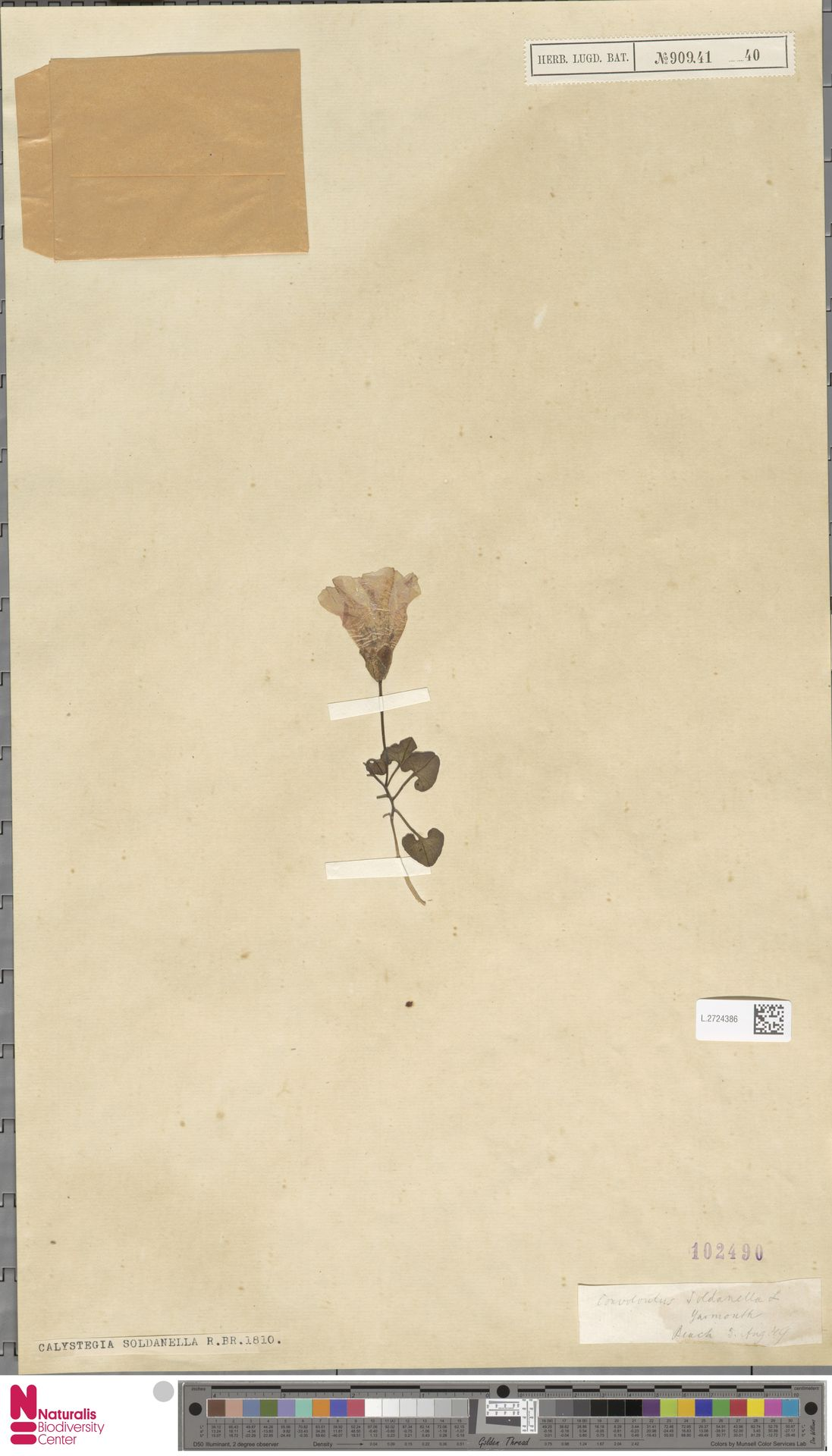 L.2724386 | Calystegia soldanella (L.) R.Br.