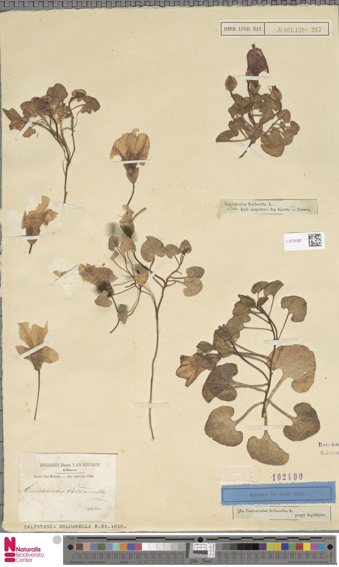 L.2724387 | Calystegia soldanella (L.) R.Br.