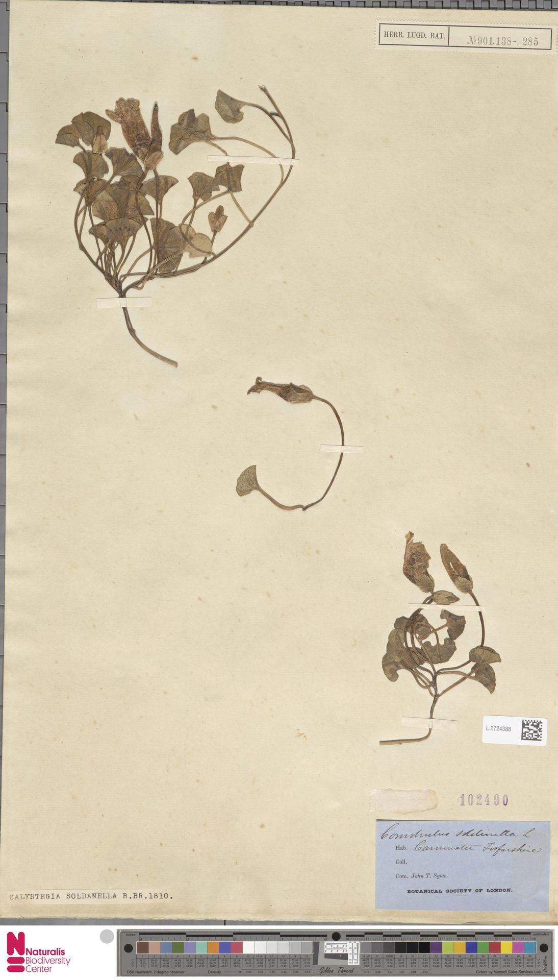 L.2724388 | Calystegia soldanella (L.) R.Br.