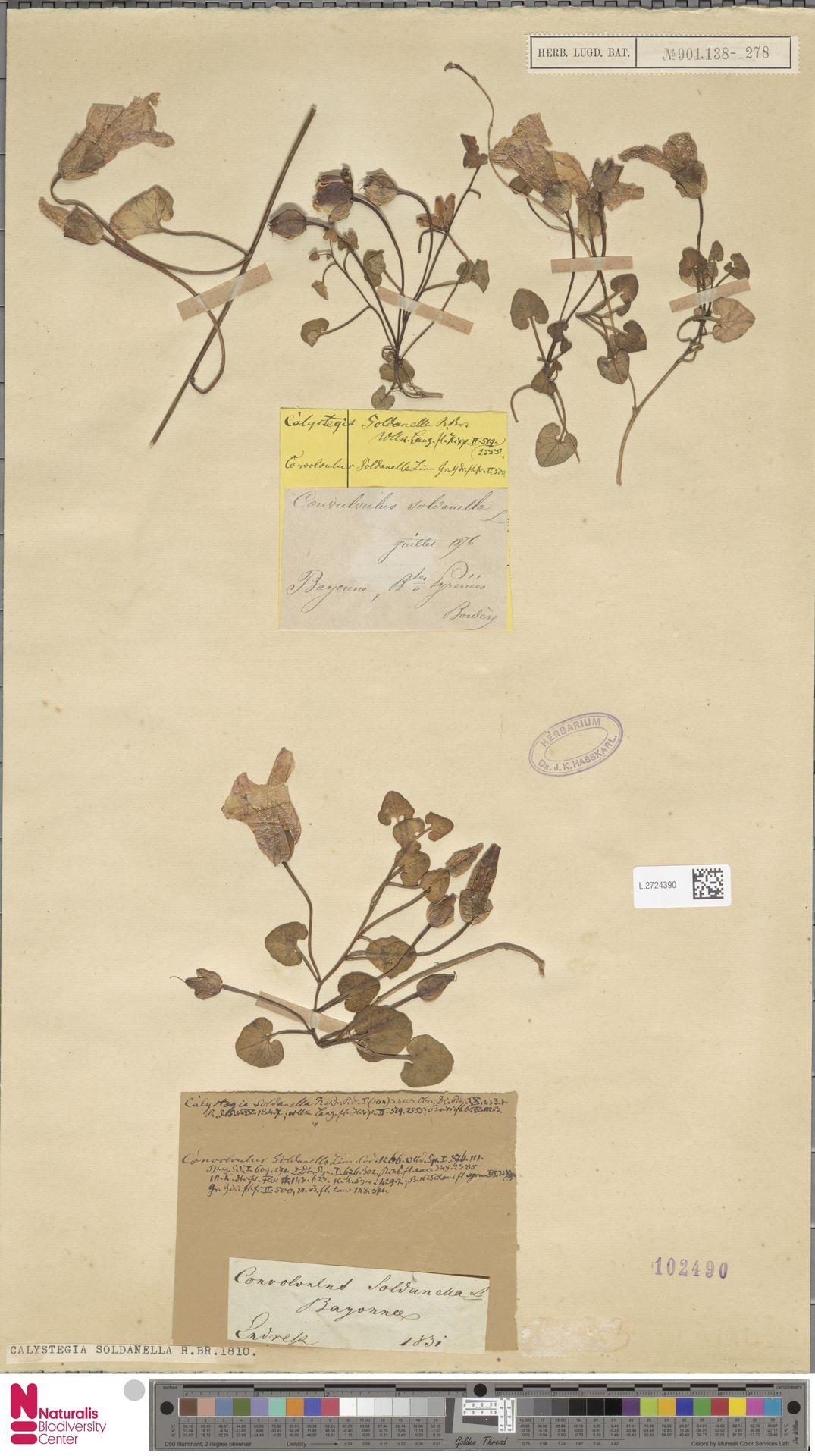 L.2724390 | Calystegia soldanella (L.) R.Br.
