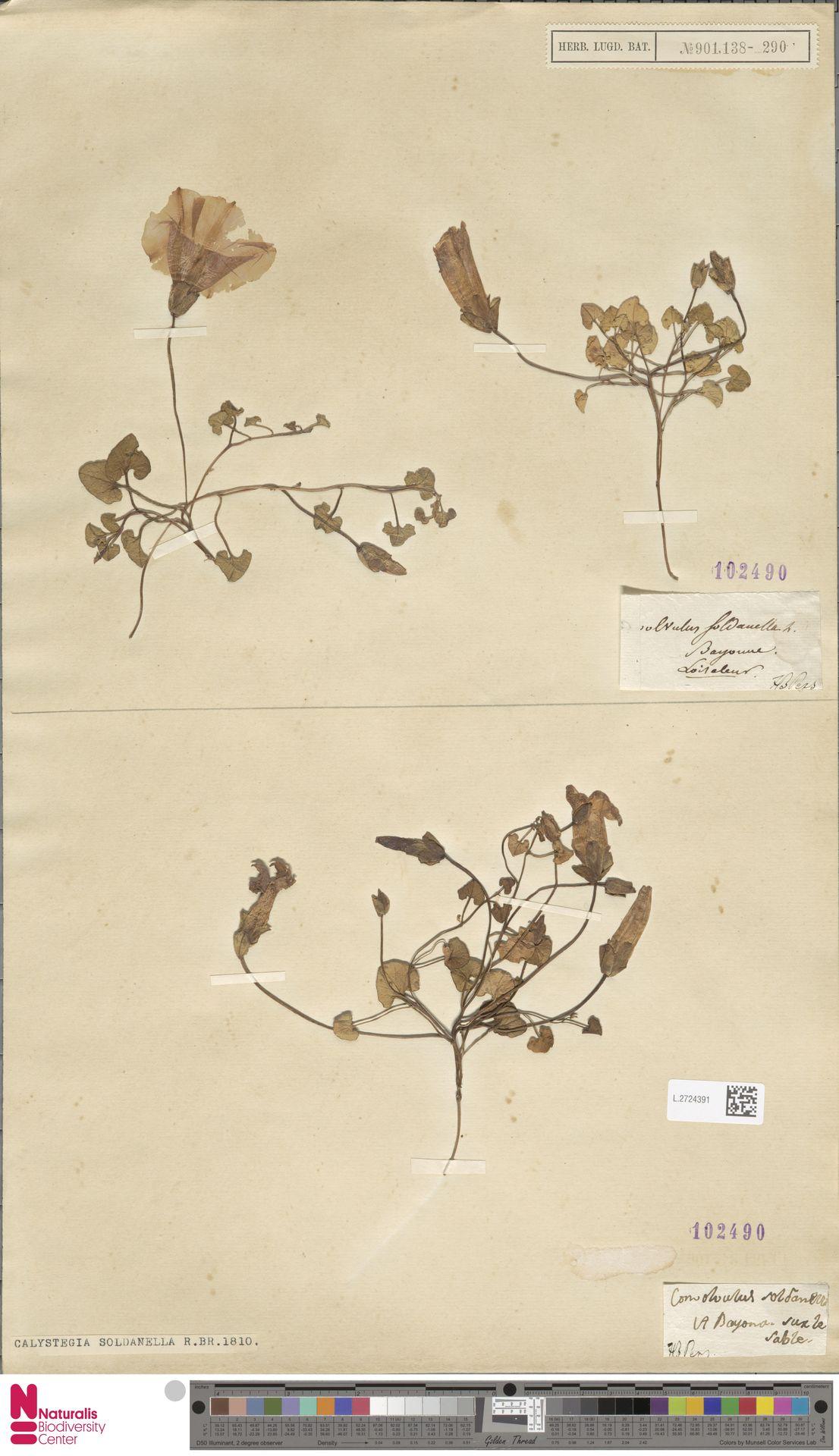 L.2724391 | Calystegia soldanella (L.) R.Br.
