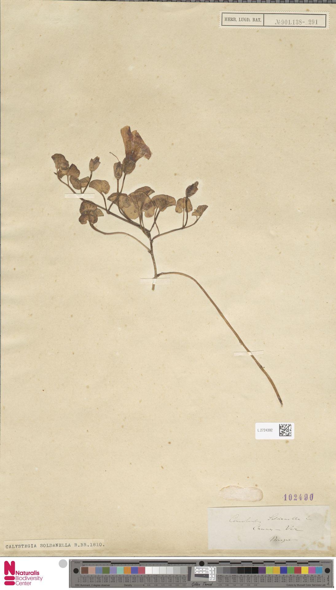 L.2724392 | Calystegia soldanella (L.) R.Br.