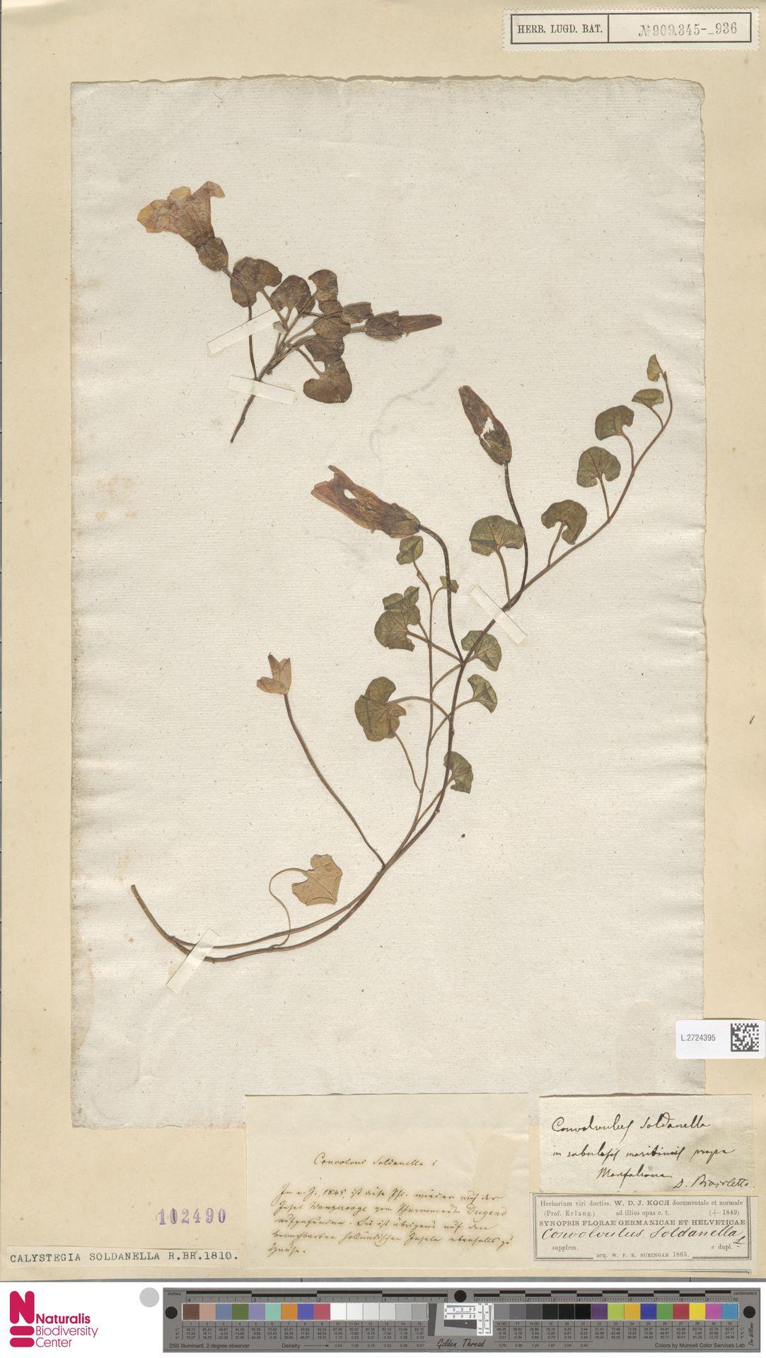 L.2724395   Calystegia soldanella (L.) R.Br.