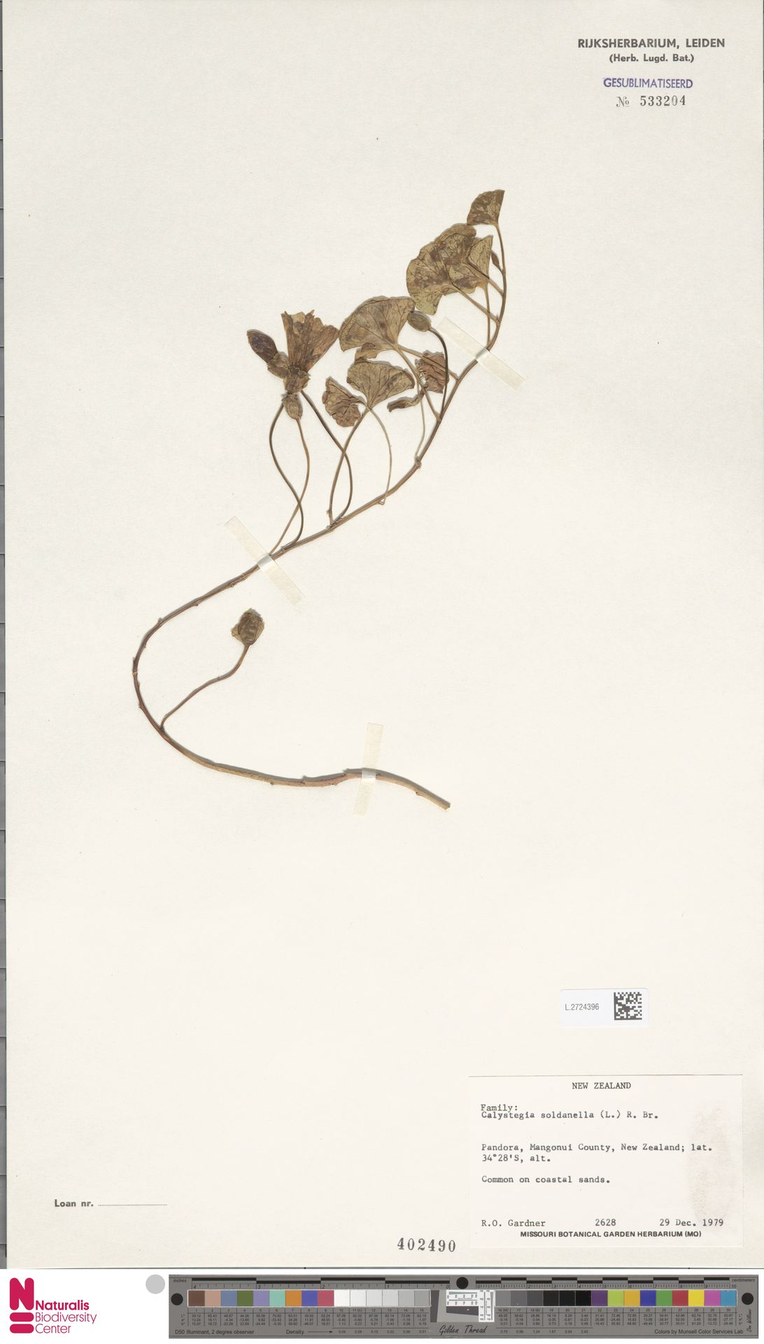 L.2724396 | Calystegia soldanella (L.) R.Br.
