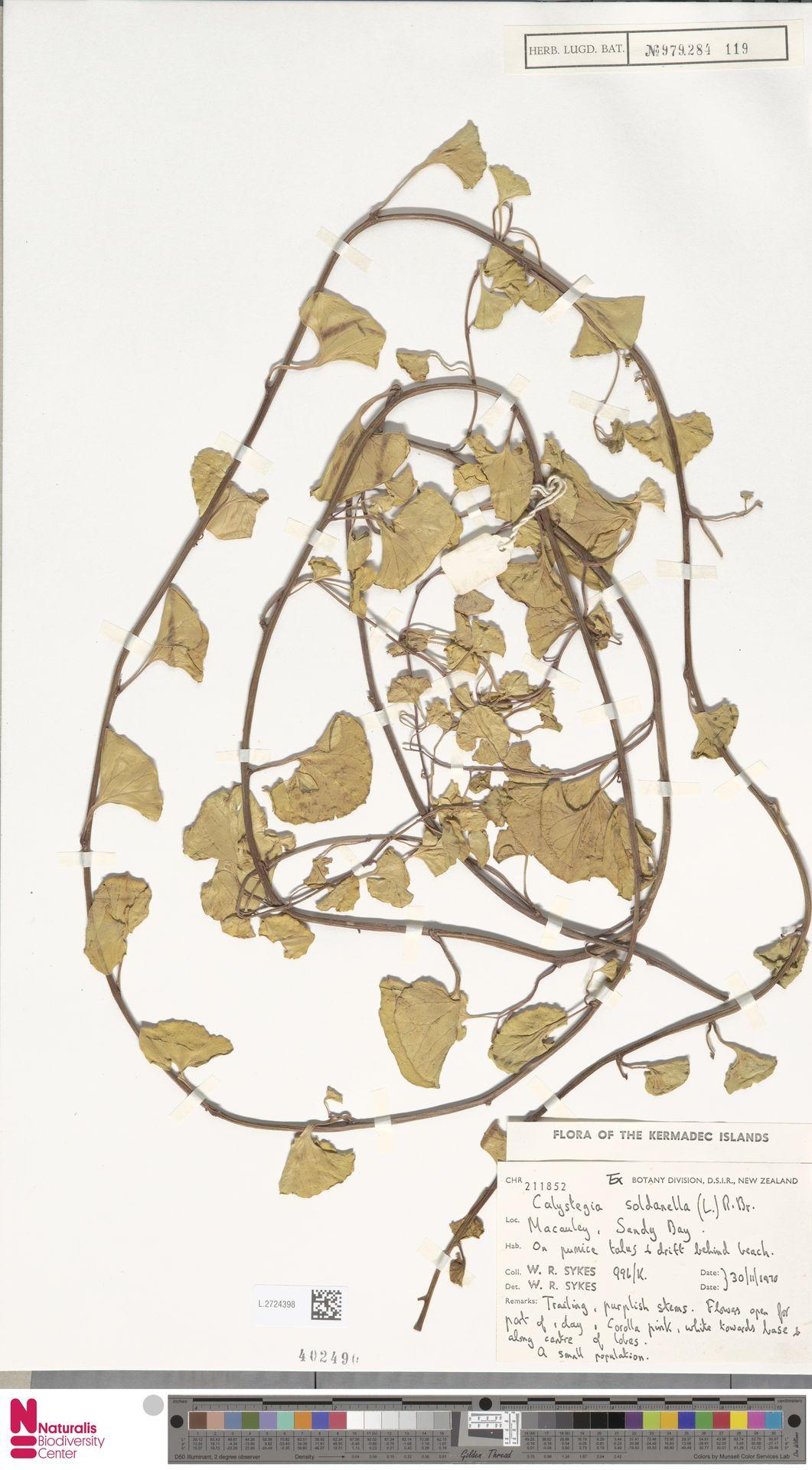 L.2724398 | Calystegia soldanella (L.) R.Br.