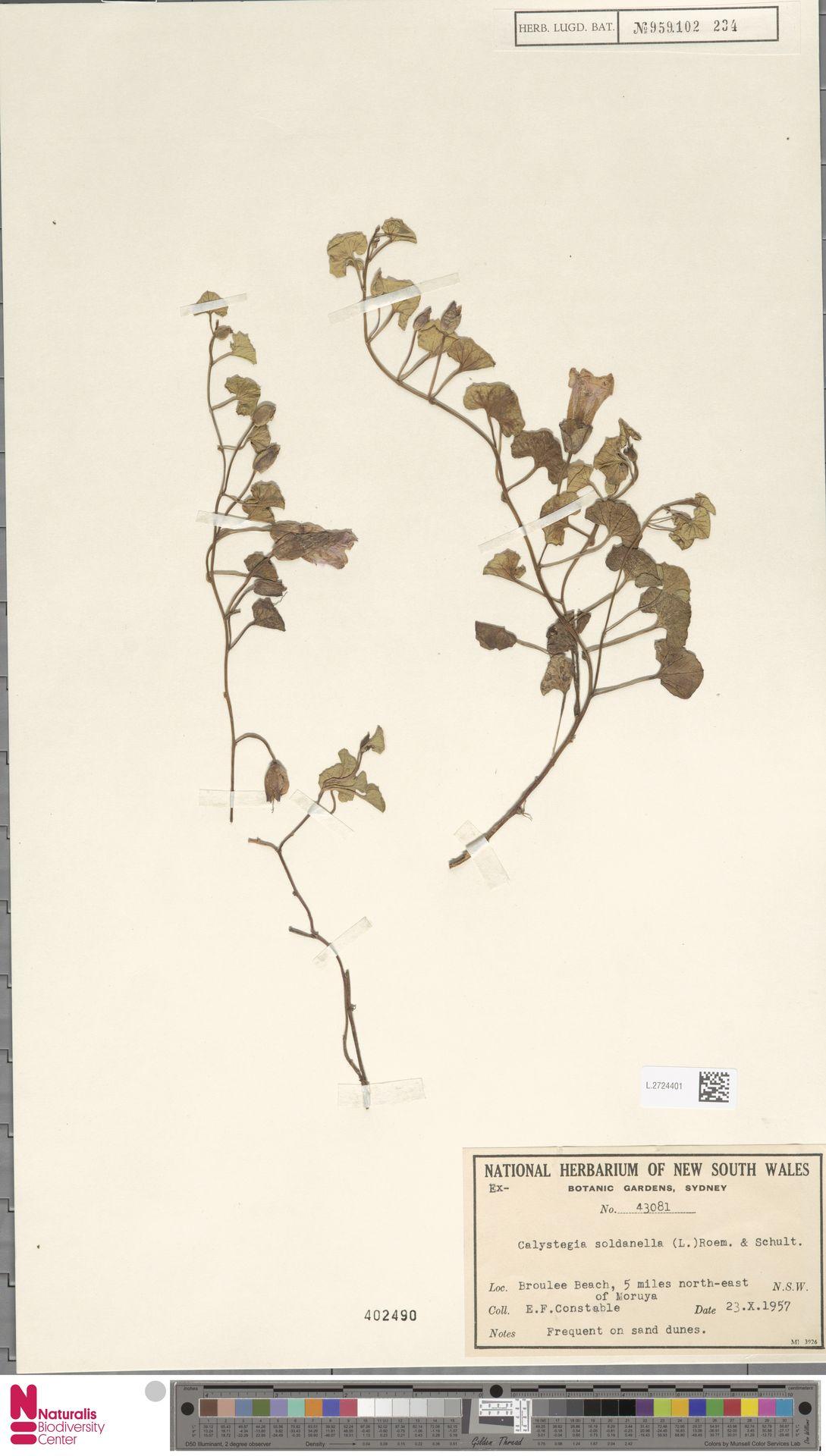 L.2724401 | Calystegia soldanella (L.) R.Br.