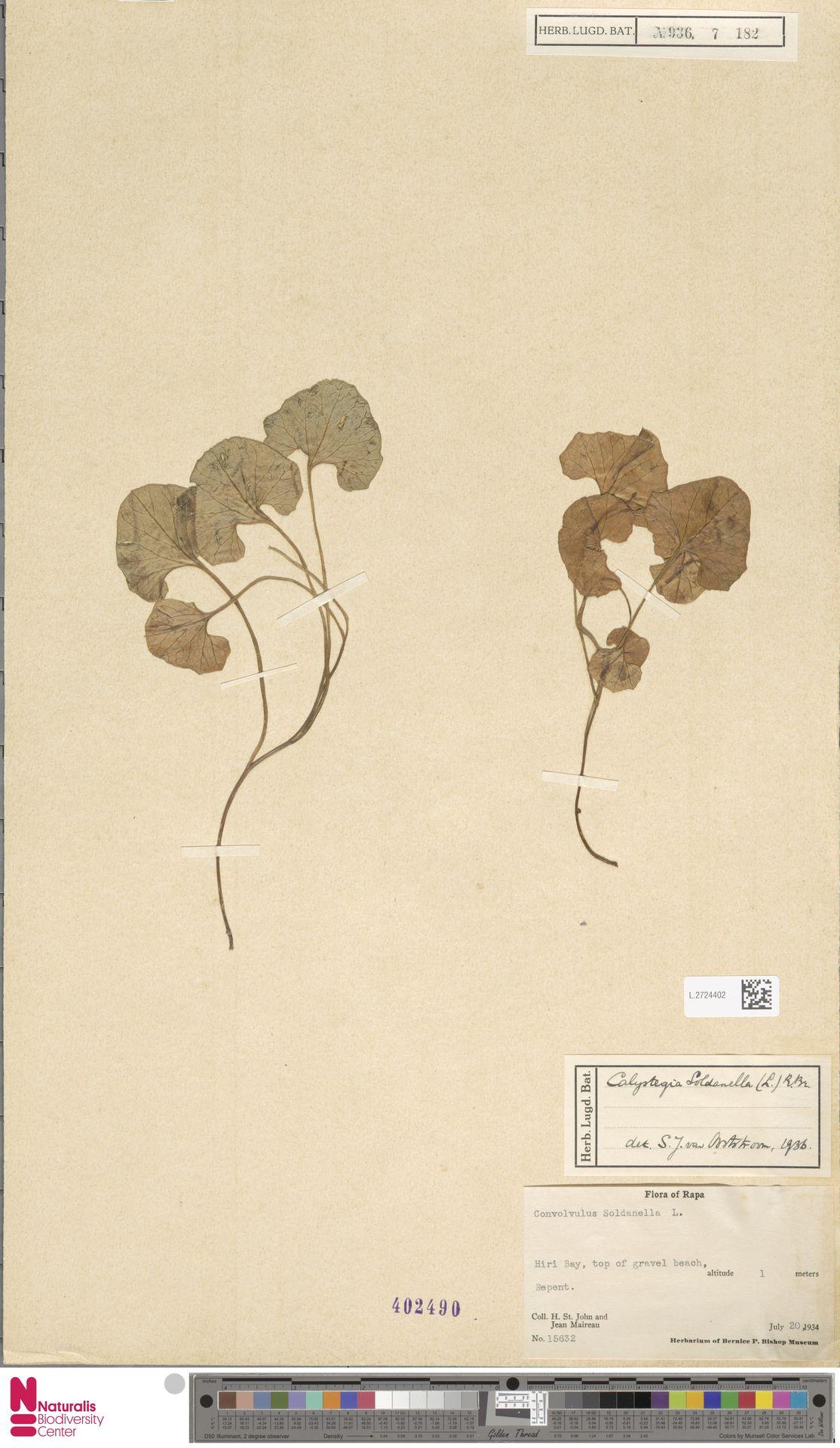 L.2724402 | Calystegia soldanella (L.) R.Br.