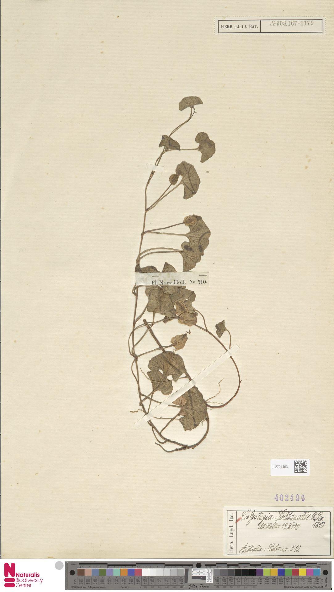 L.2724403 | Calystegia soldanella (L.) R.Br.