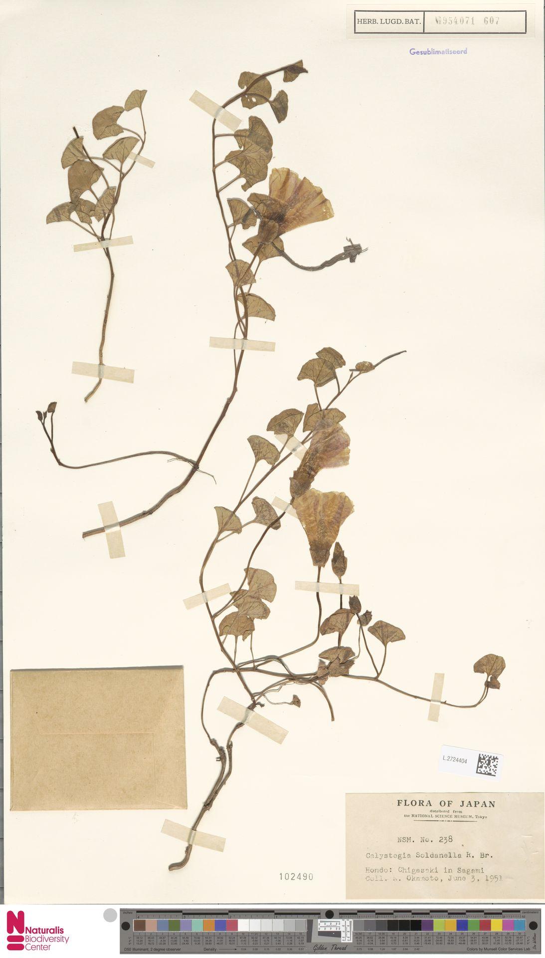 L.2724404 | Calystegia soldanella (L.) R.Br.