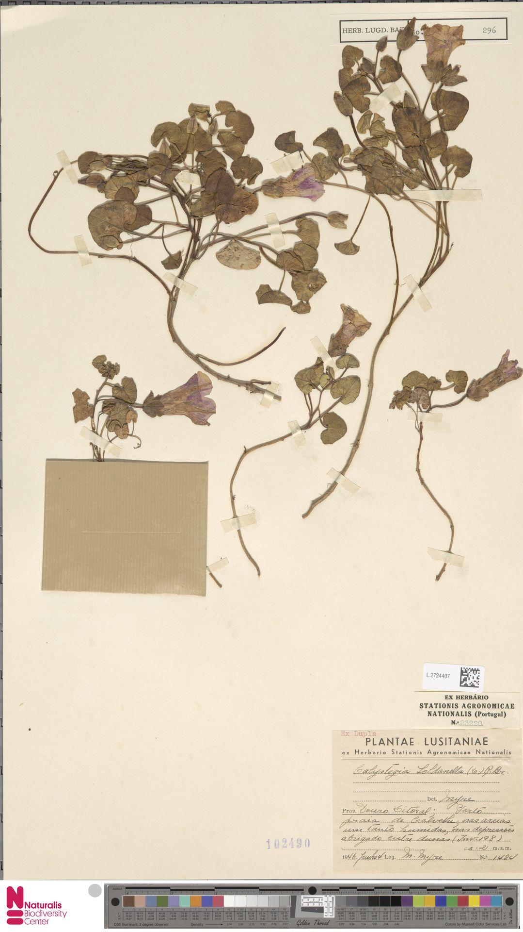 L.2724407   Calystegia soldanella (L.) R.Br.