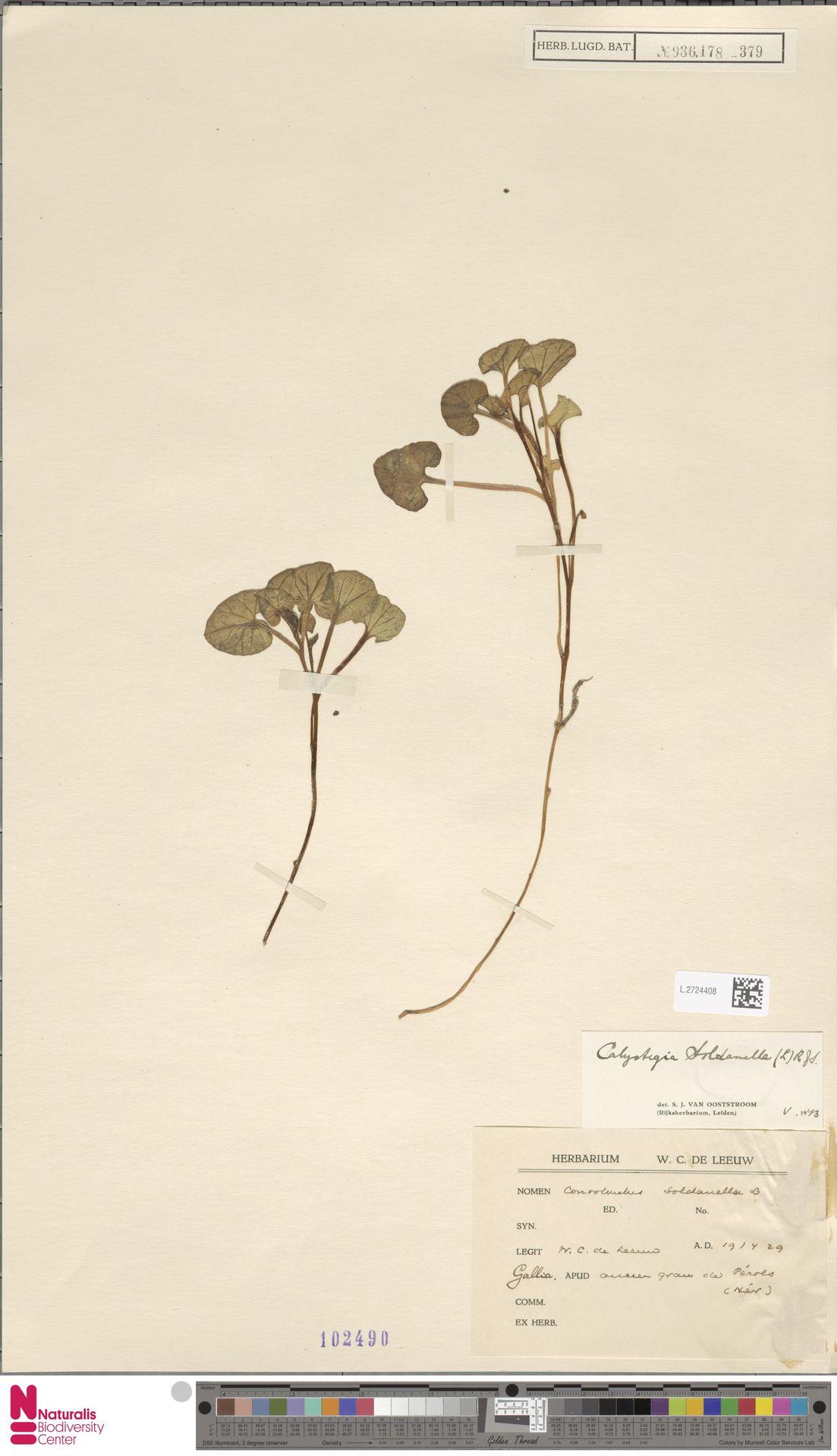 L.2724408 | Calystegia soldanella (L.) R.Br.