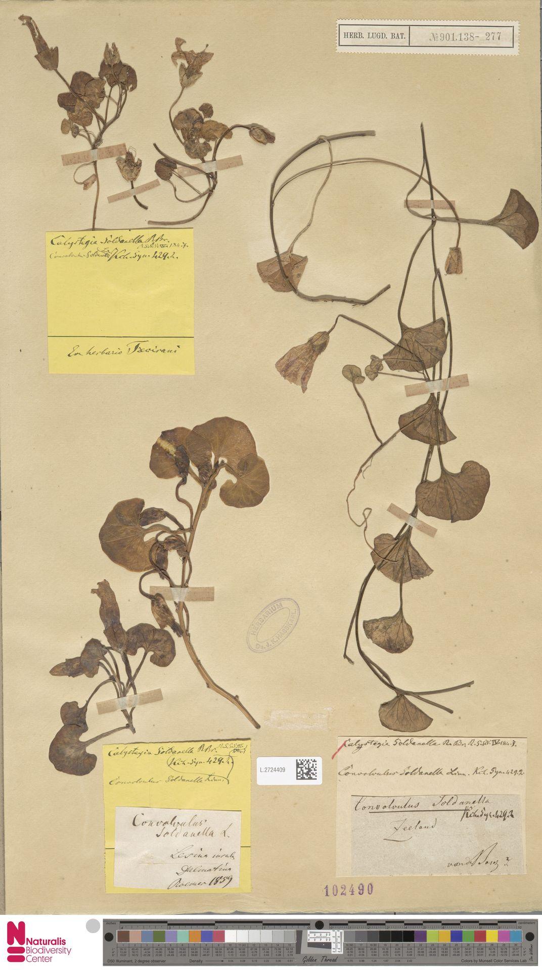 L.2724409 | Calystegia soldanella (L.) R.Br.