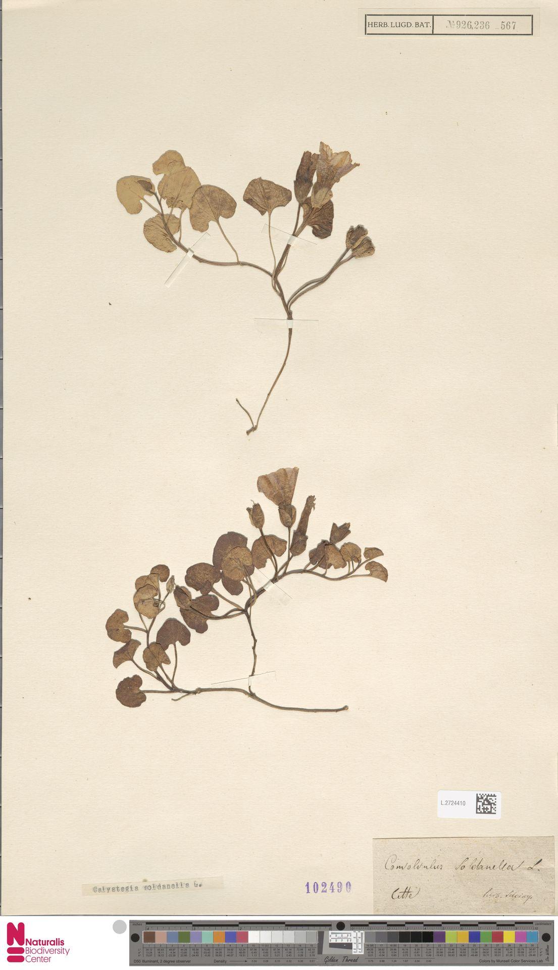 L.2724410 | Calystegia soldanella (L.) R.Br.