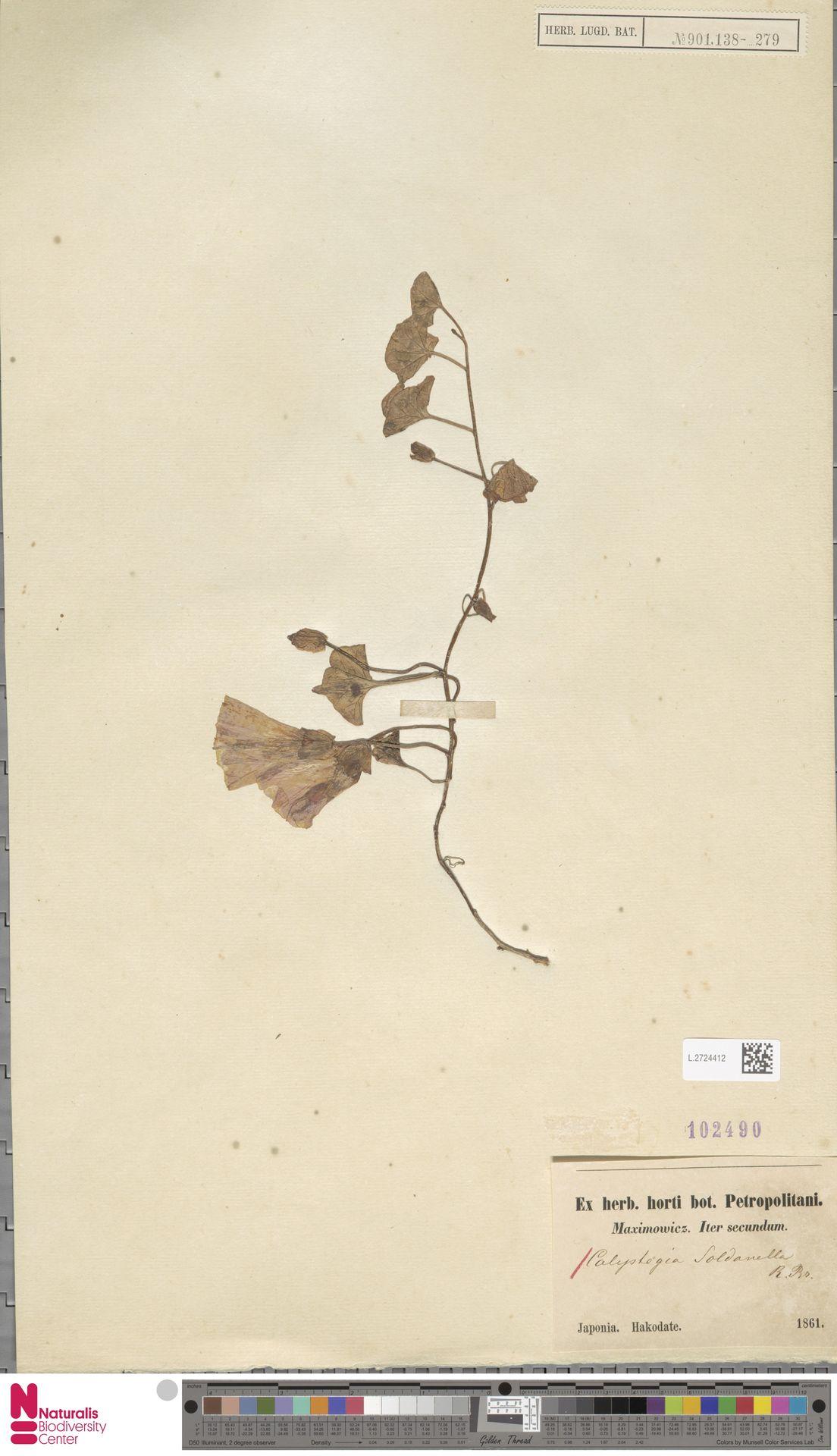 L.2724412 | Calystegia soldanella (L.) R.Br.