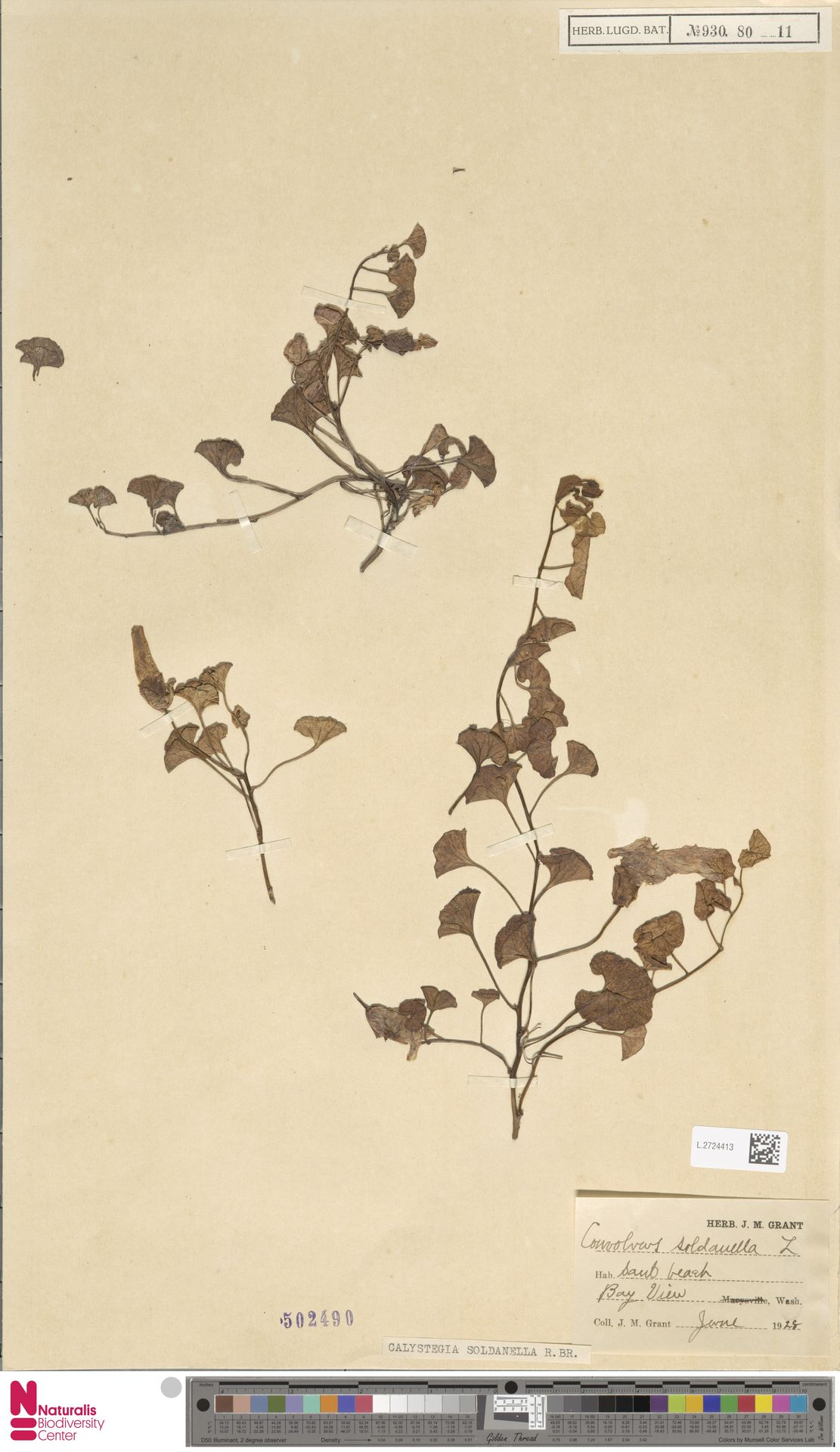 L.2724413 | Calystegia soldanella (L.) R.Br.