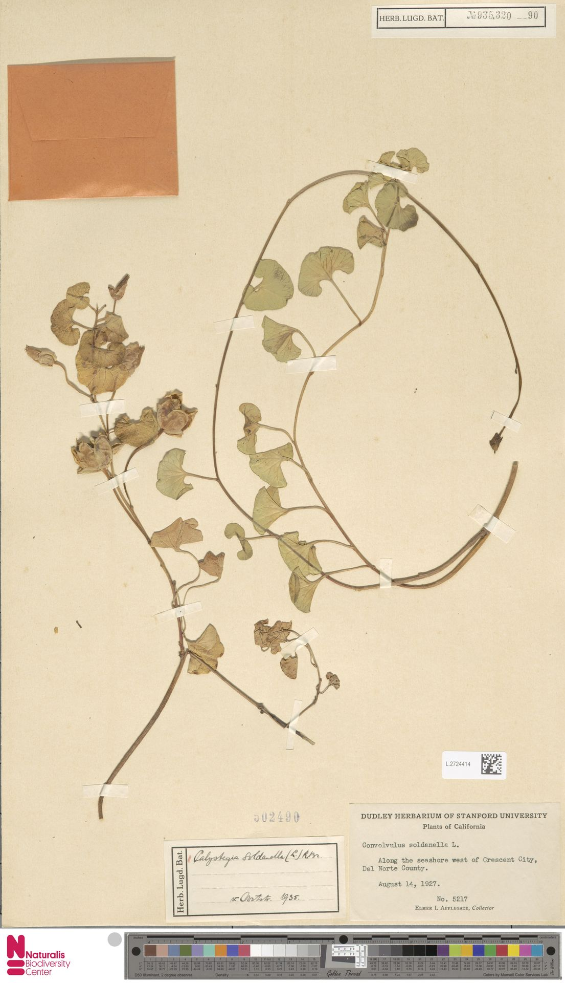 L.2724414 | Calystegia soldanella (L.) R.Br.