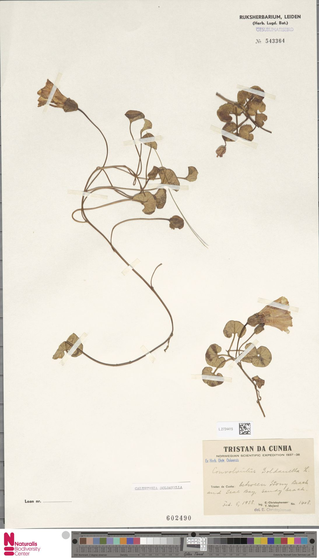 L.2724415 | Calystegia soldanella (L.) R.Br.