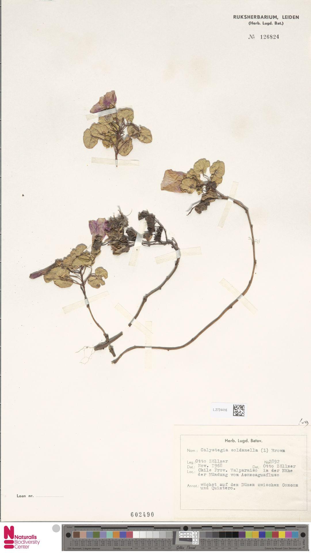 L.2724416 | Calystegia soldanella (L.) R.Br.