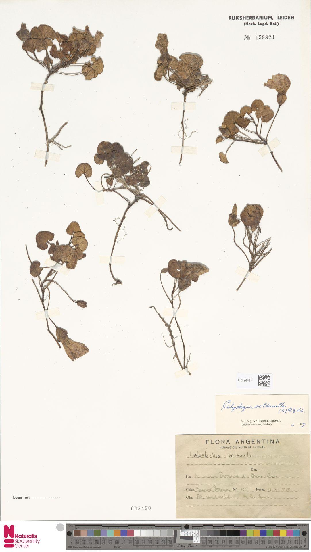 L.2724417 | Calystegia soldanella (L.) R.Br.