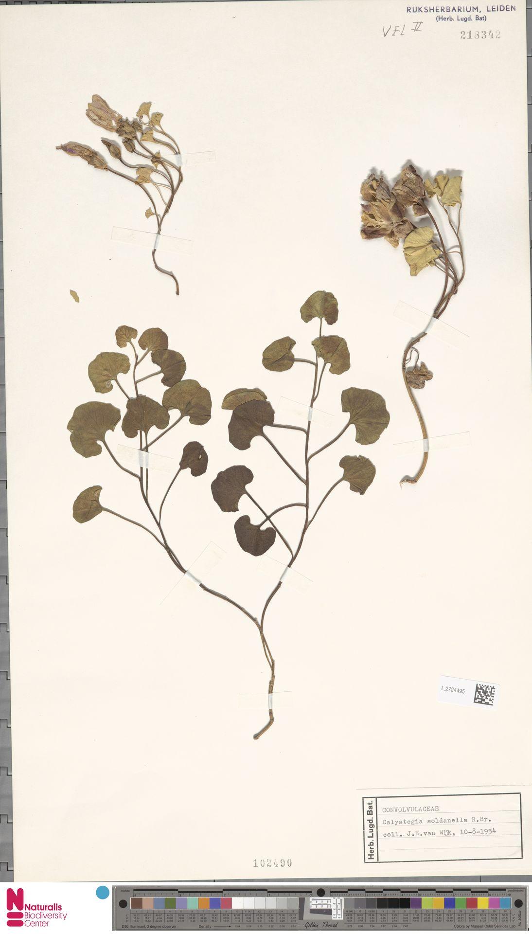 L.2724495 | Calystegia soldanella (L.) R.Br.