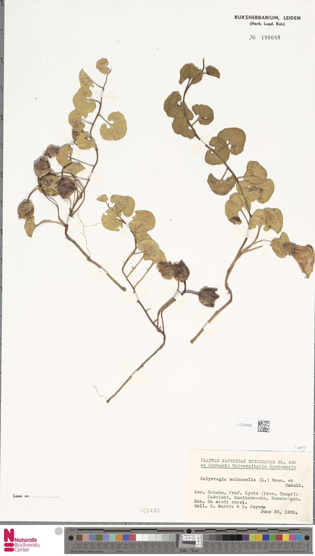 L.2724503 | Calystegia soldanella (L.) R.Br.