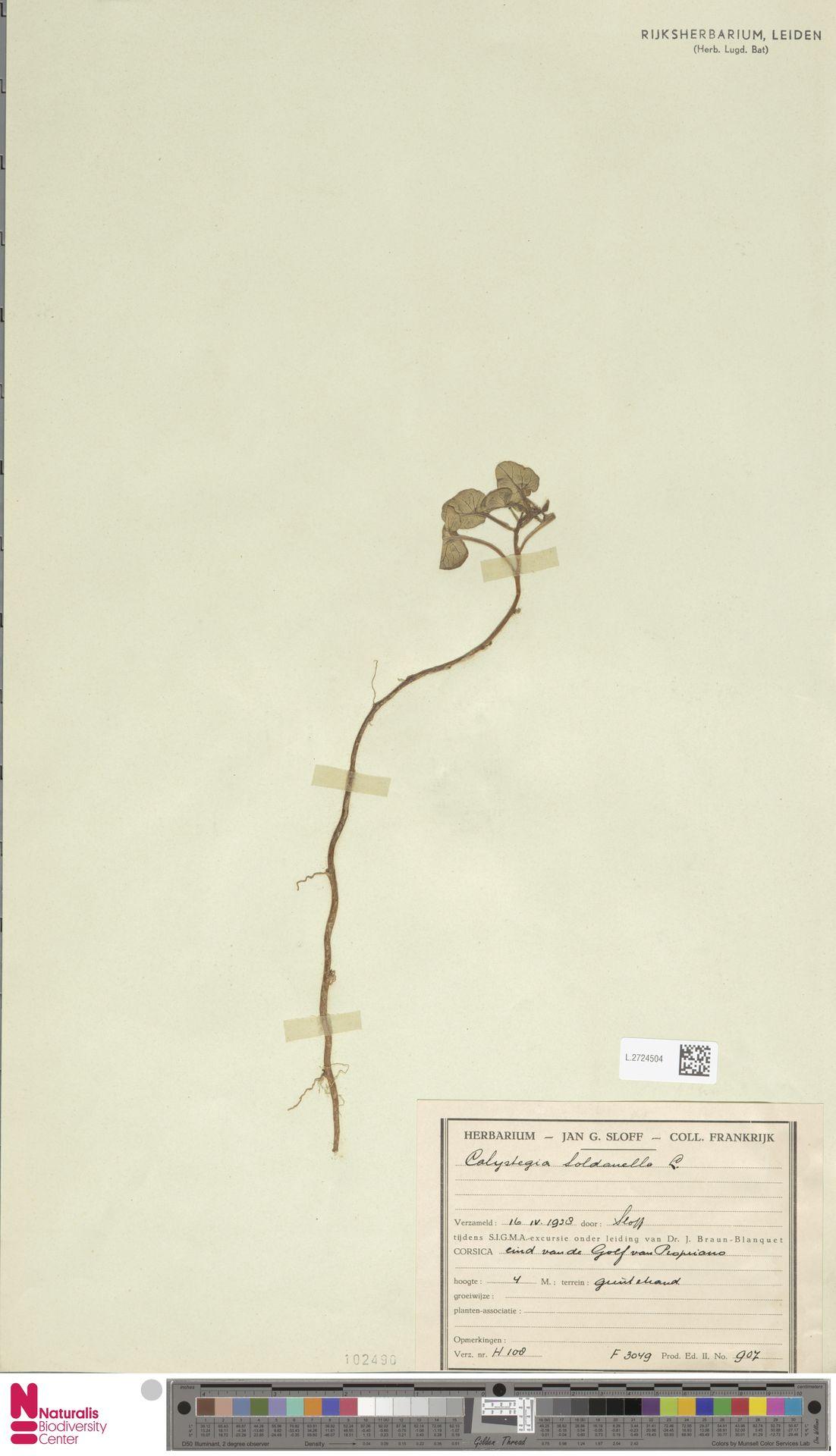 L.2724504 | Calystegia soldanella (L.) R.Br.