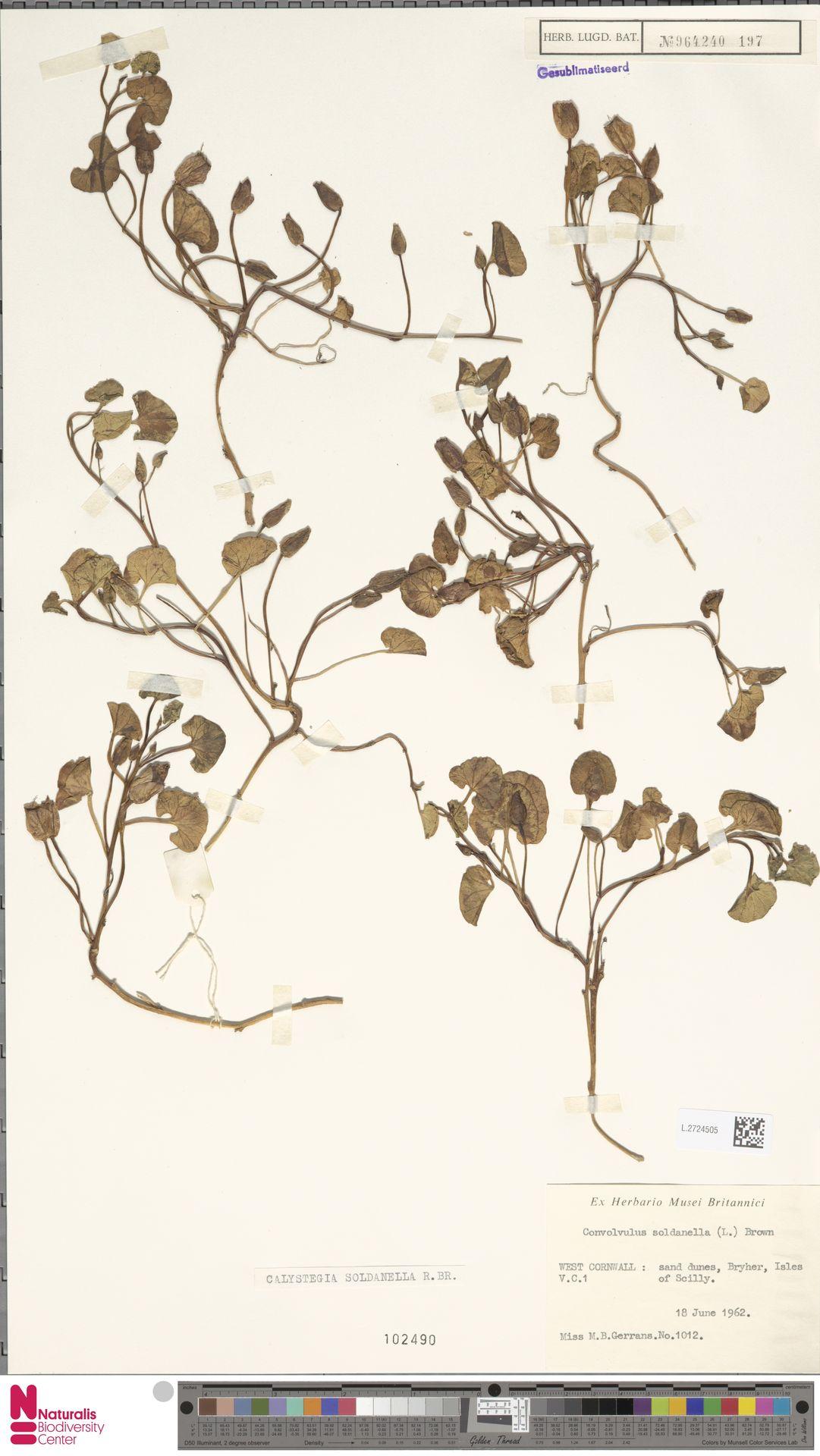 L.2724505 | Calystegia soldanella (L.) R.Br.
