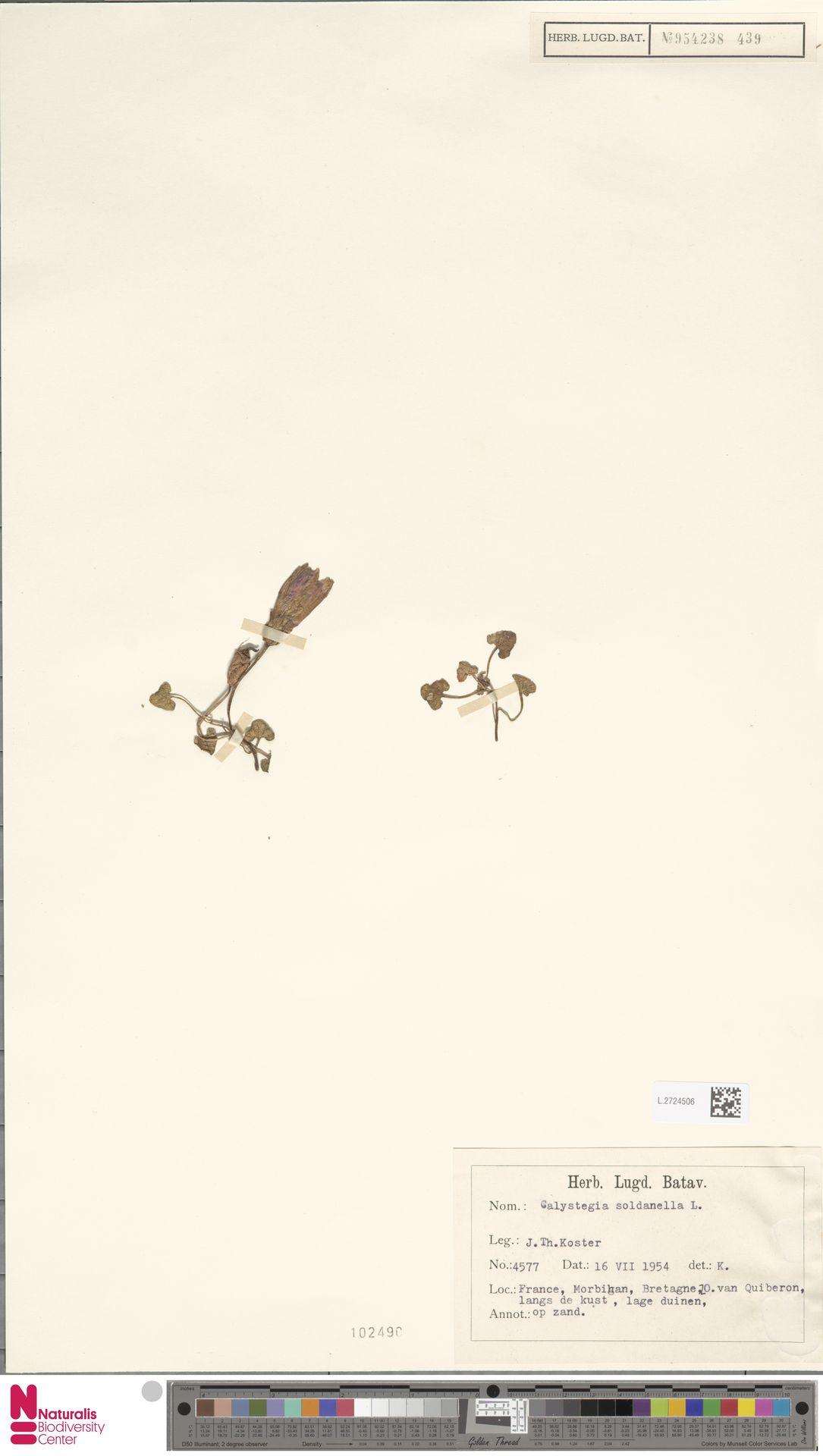 L.2724506 | Calystegia soldanella (L.) R.Br.