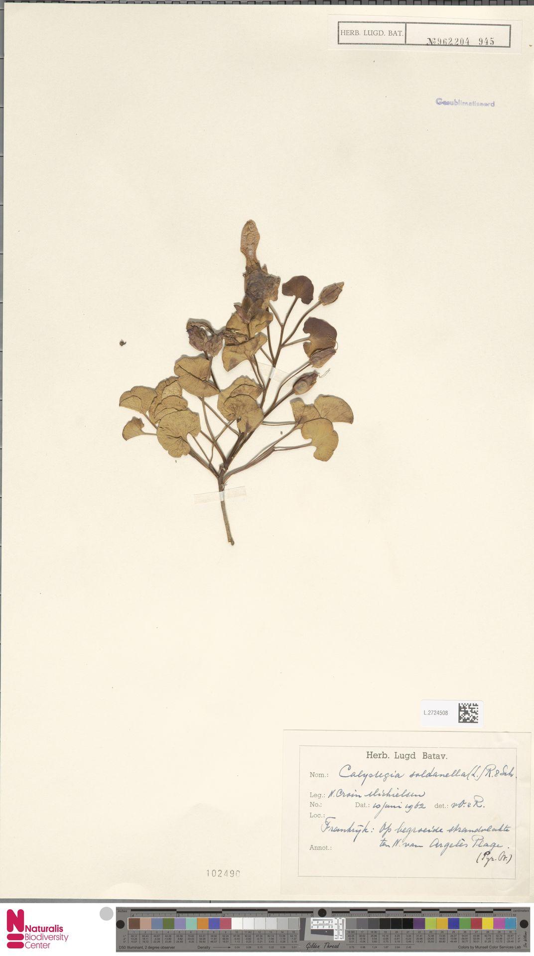 L.2724508 | Calystegia soldanella (L.) R.Br.