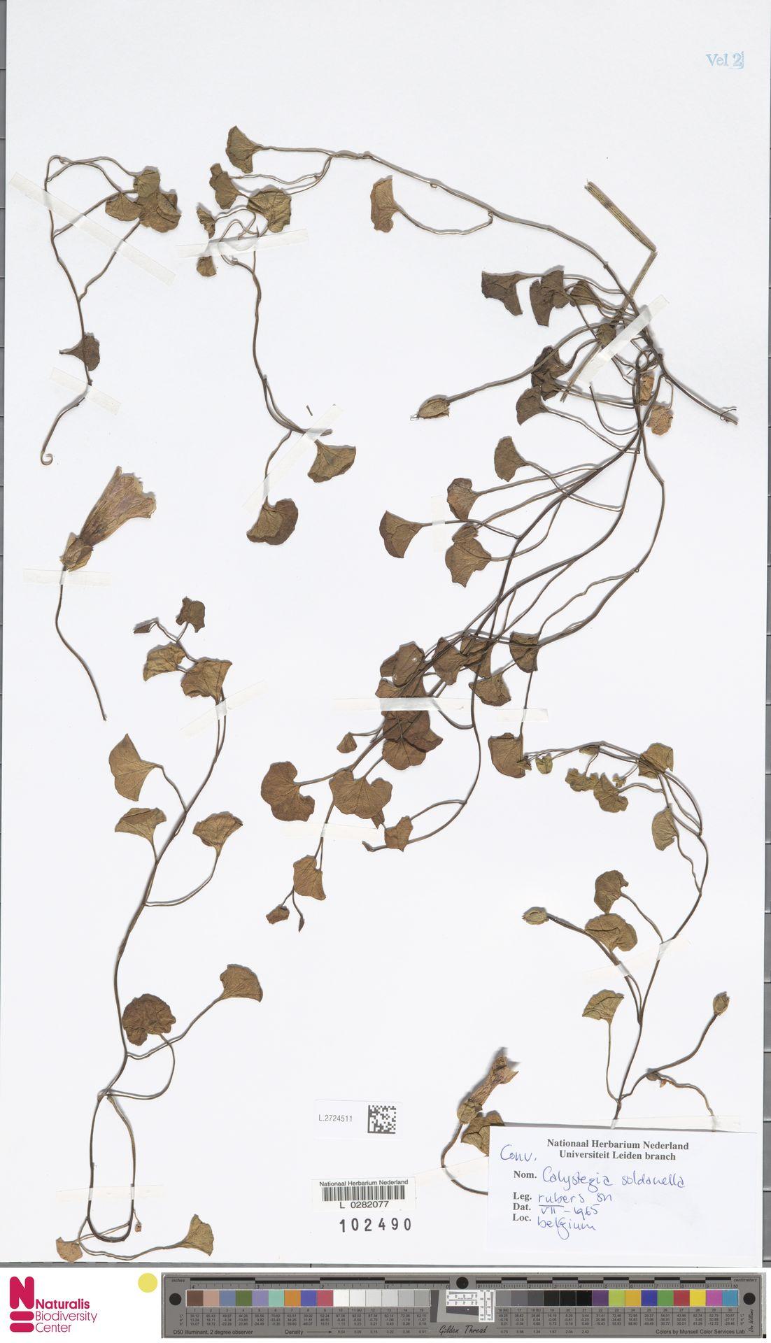 L.2724511   Calystegia soldanella (L.) R.Br.
