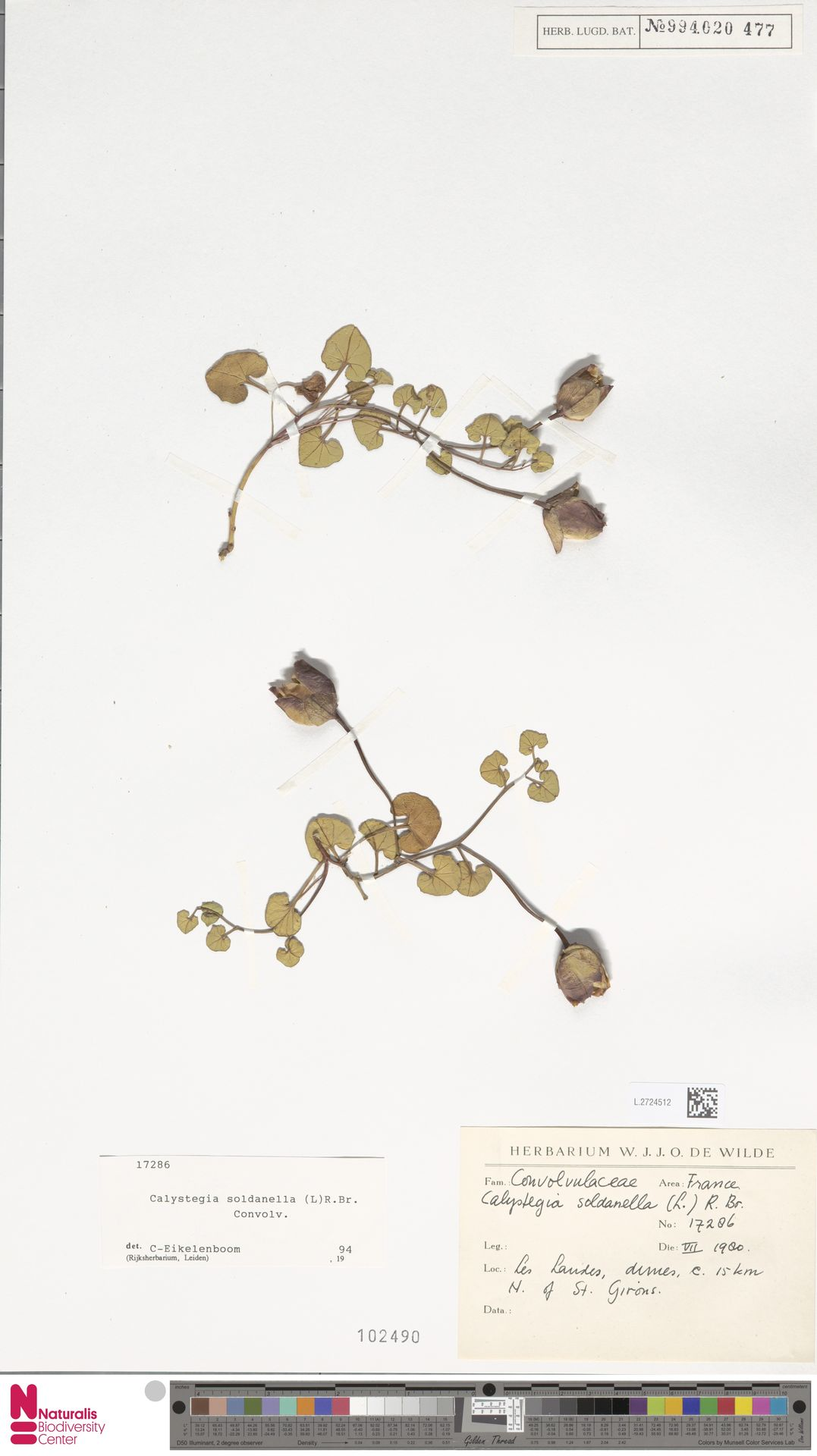 L.2724512 | Calystegia soldanella (L.) R.Br.