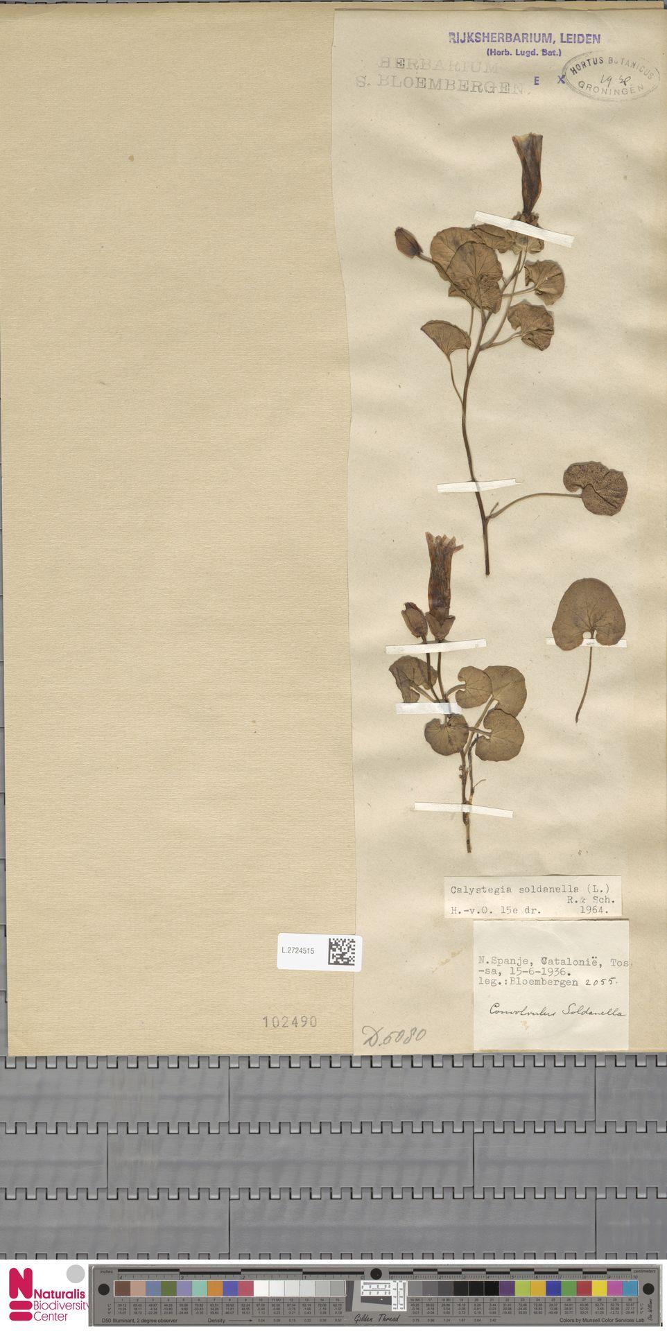 L.2724515 | Calystegia soldanella (L.) R.Br.