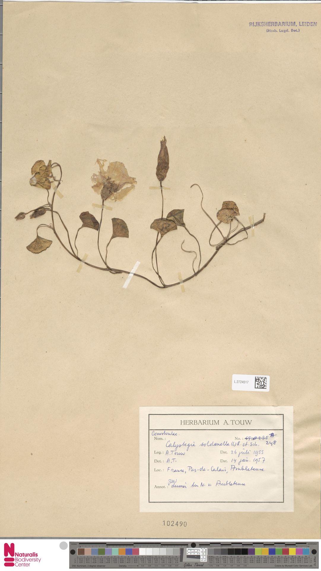 L.2724517 | Calystegia soldanella (L.) R.Br.